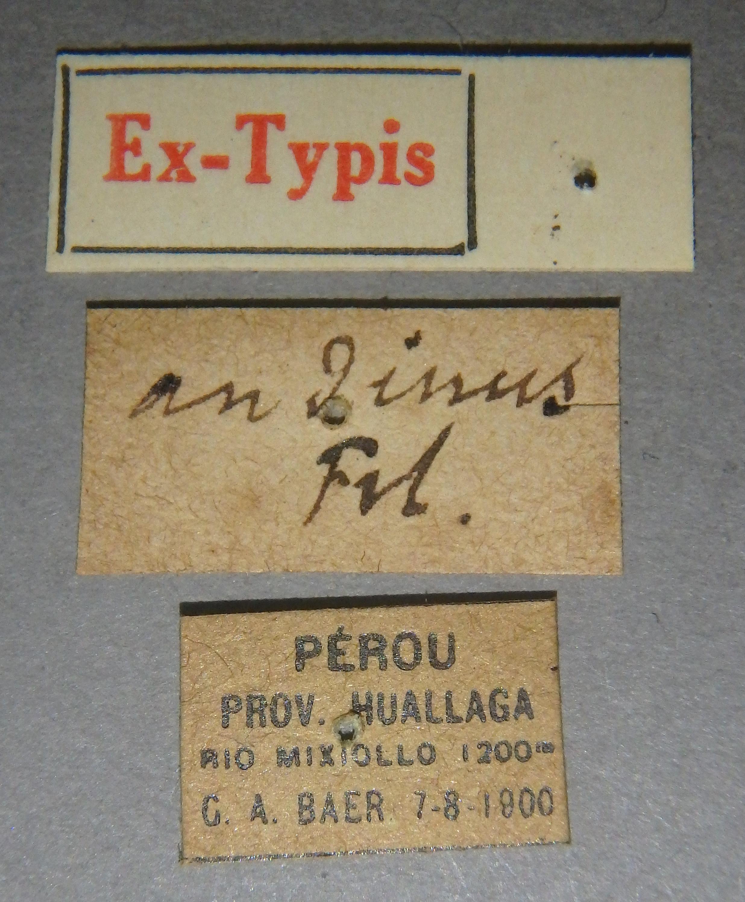 Paederus andinus et Lb.JPG