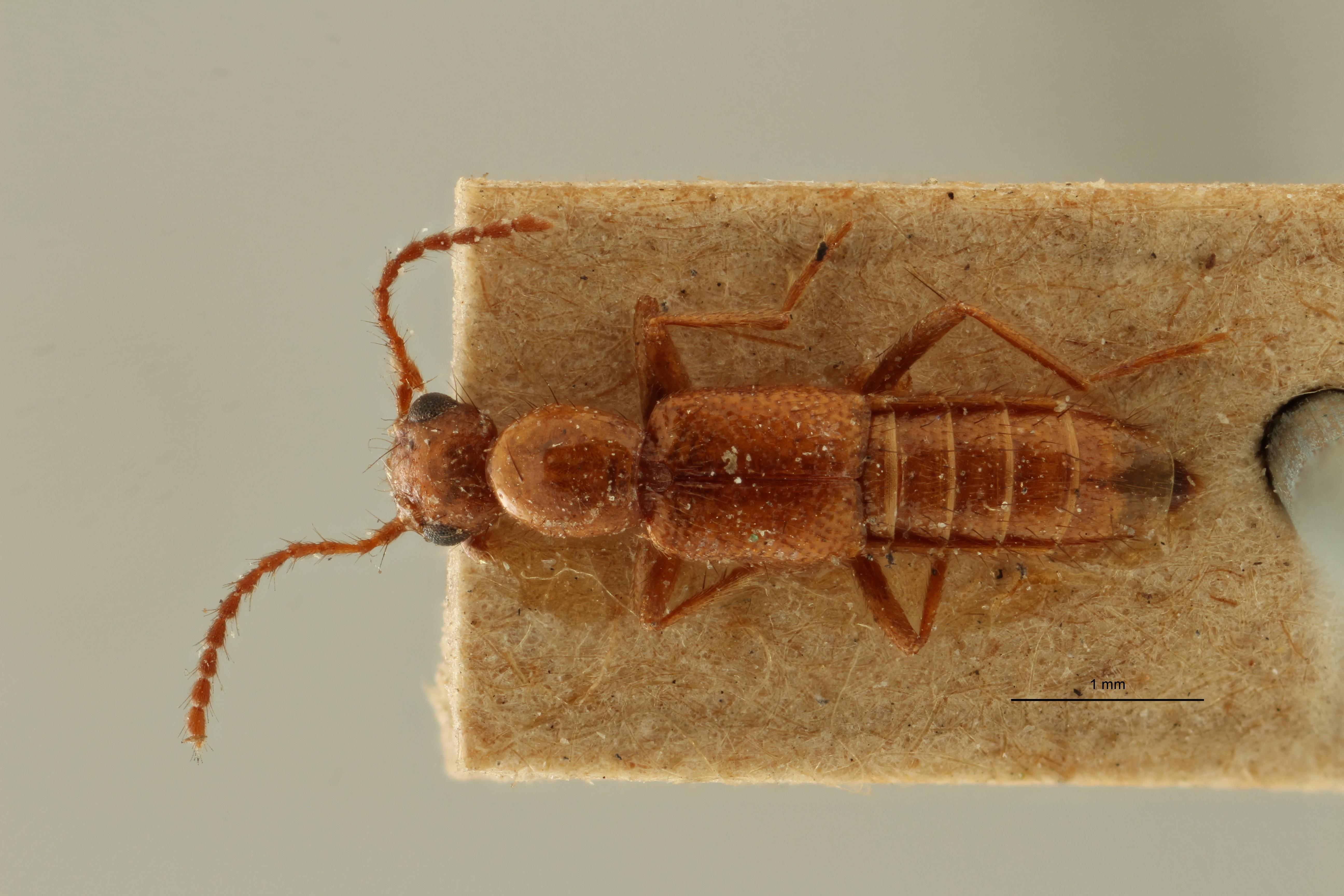 Paederus apicalis et D ZS PMax Scaled.jpeg