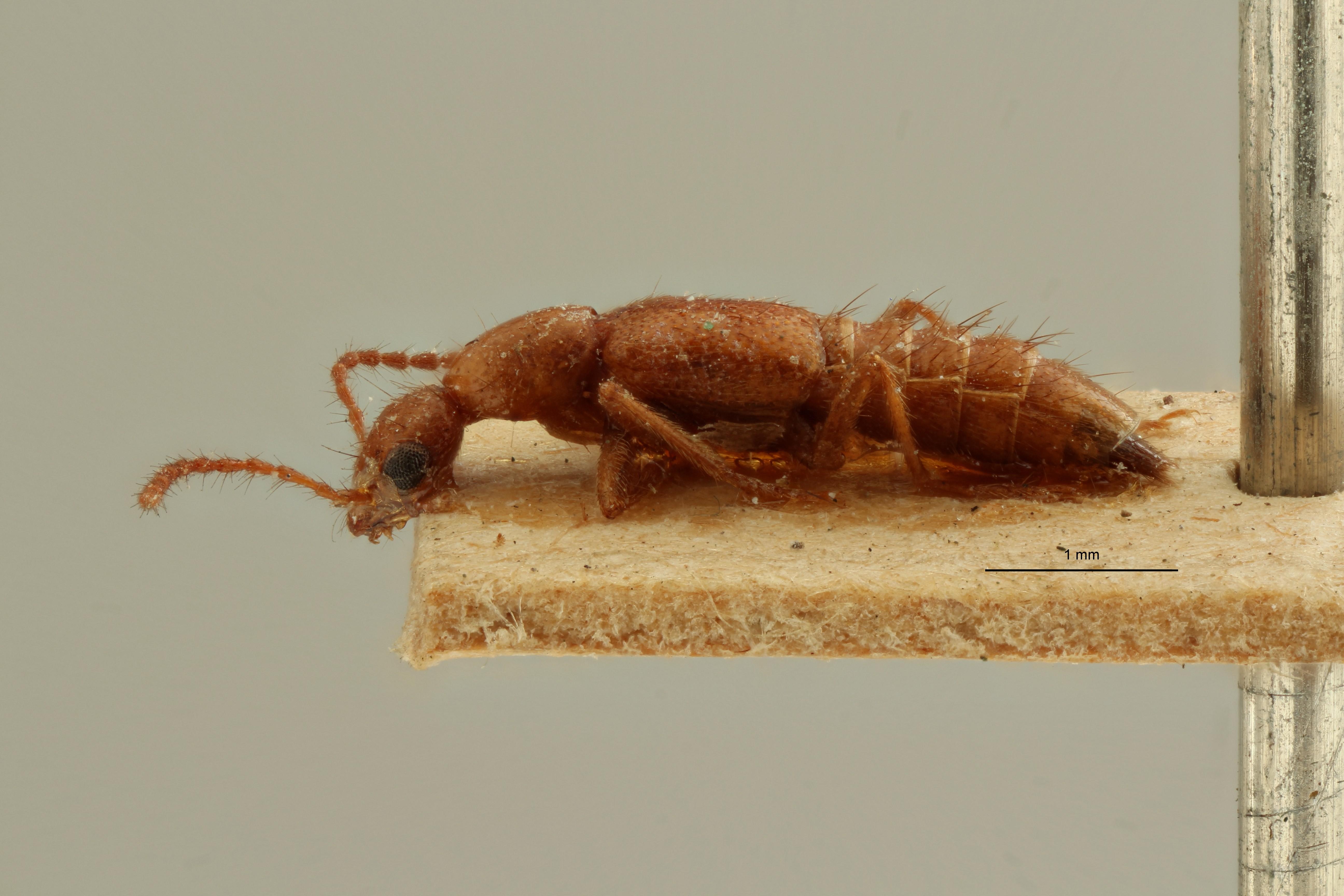 Paederus apicalis et L ZS PMax Scaled.jpeg