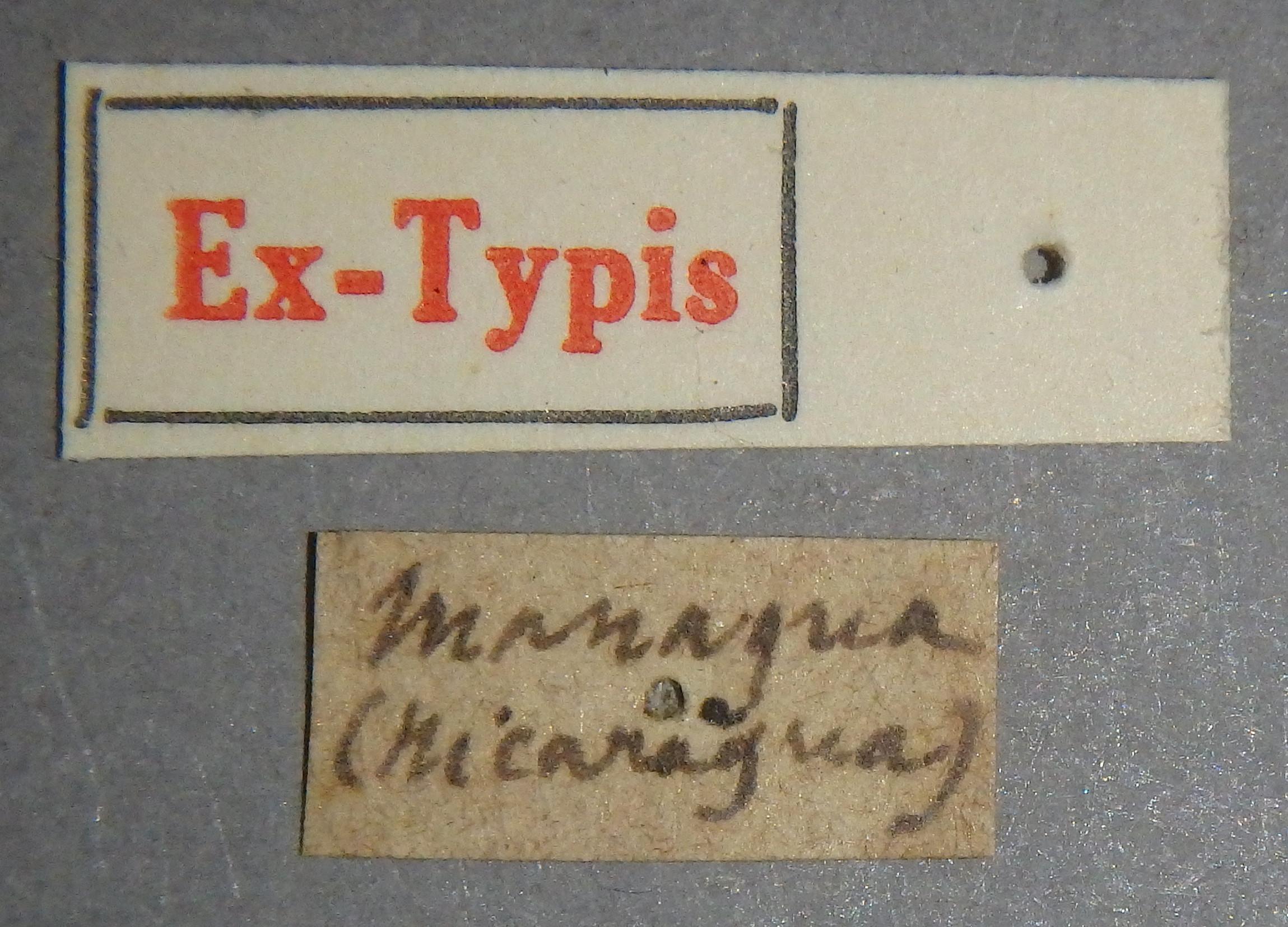 Paederus apicalis et Lb.JPG