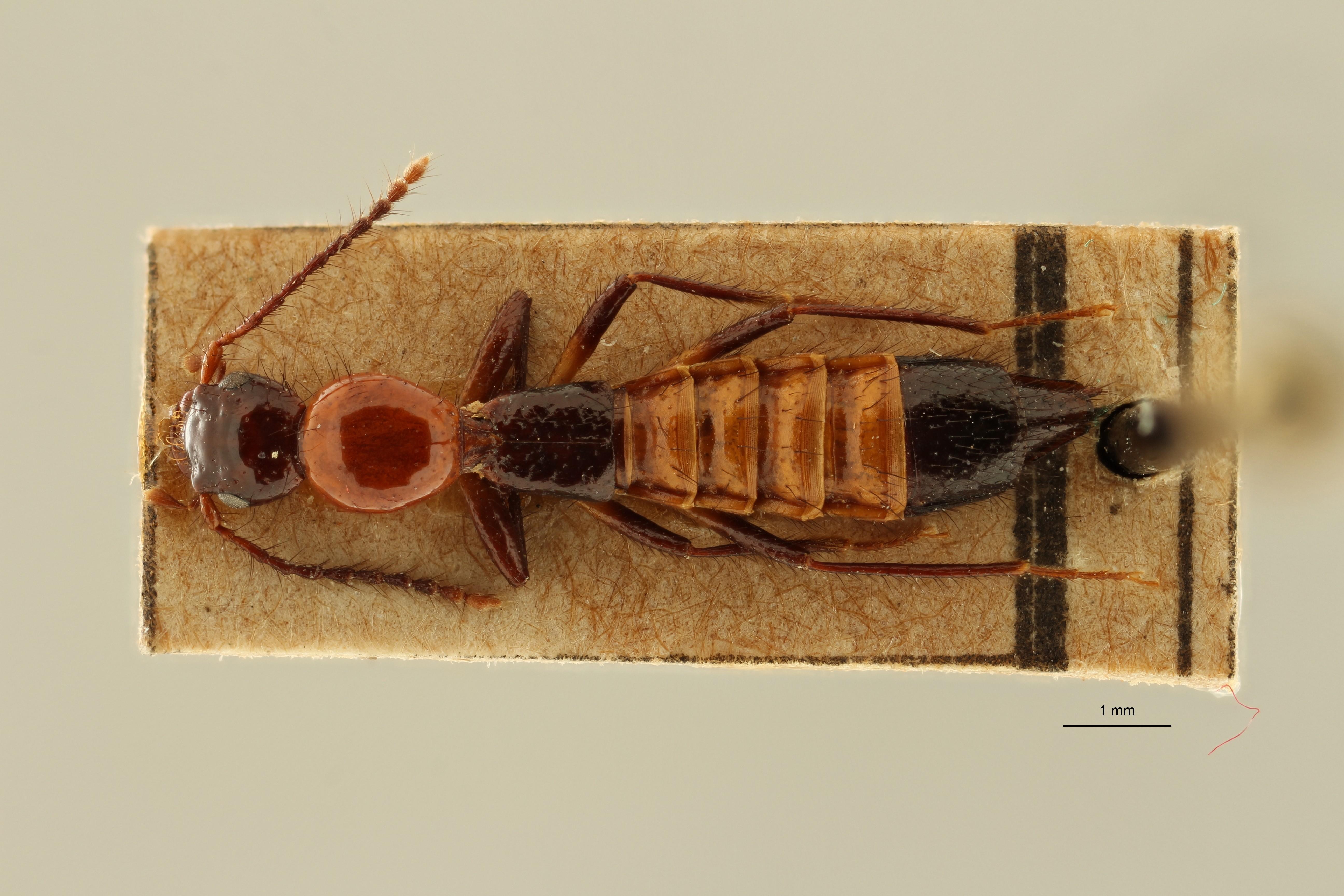 Paederus capillaris et D ZS PMax Scaled.jpeg