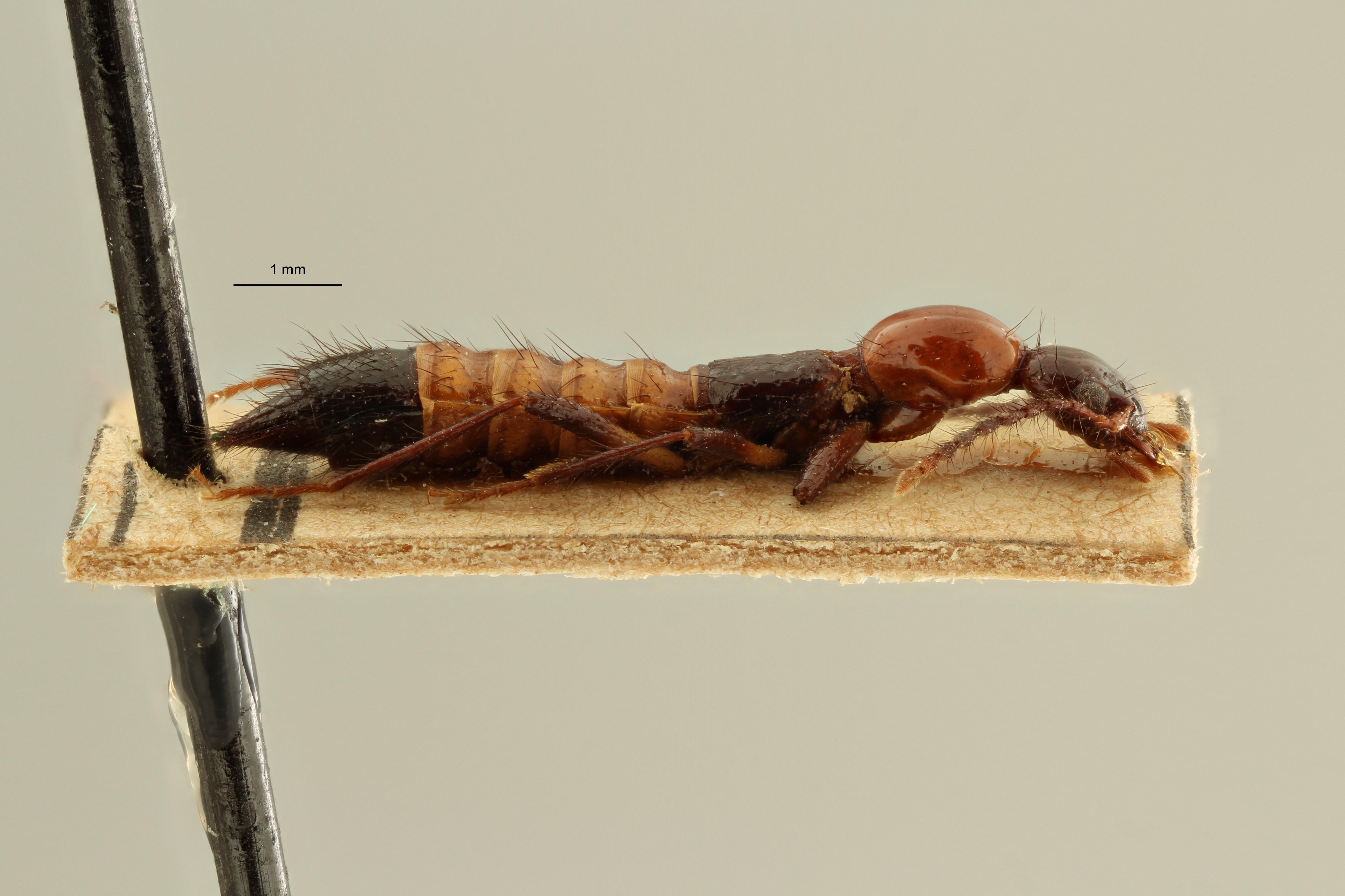Paederus capillaris et L ZS PMax Scaled.jpeg
