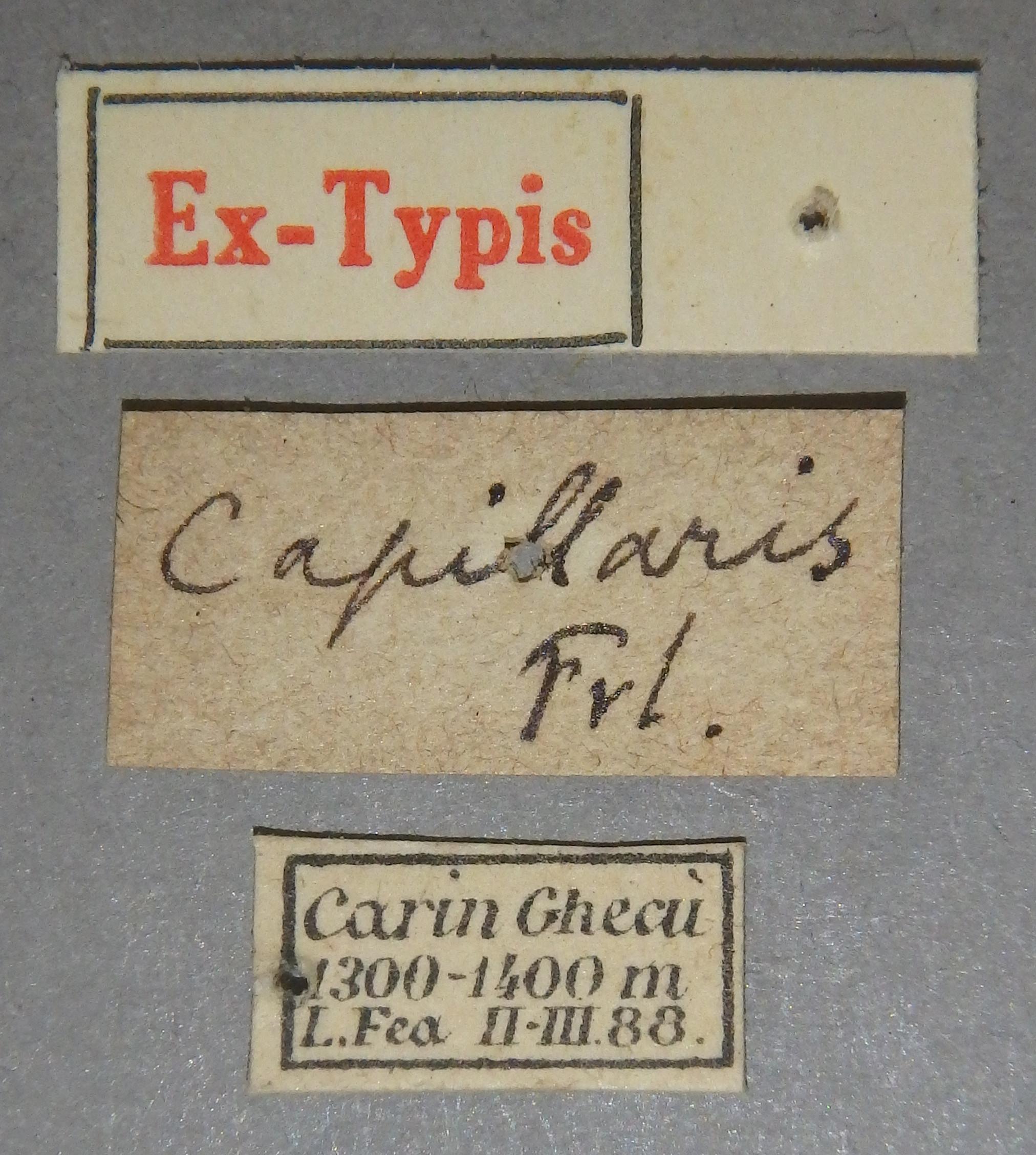Paederus capillaris et Lb.JPG