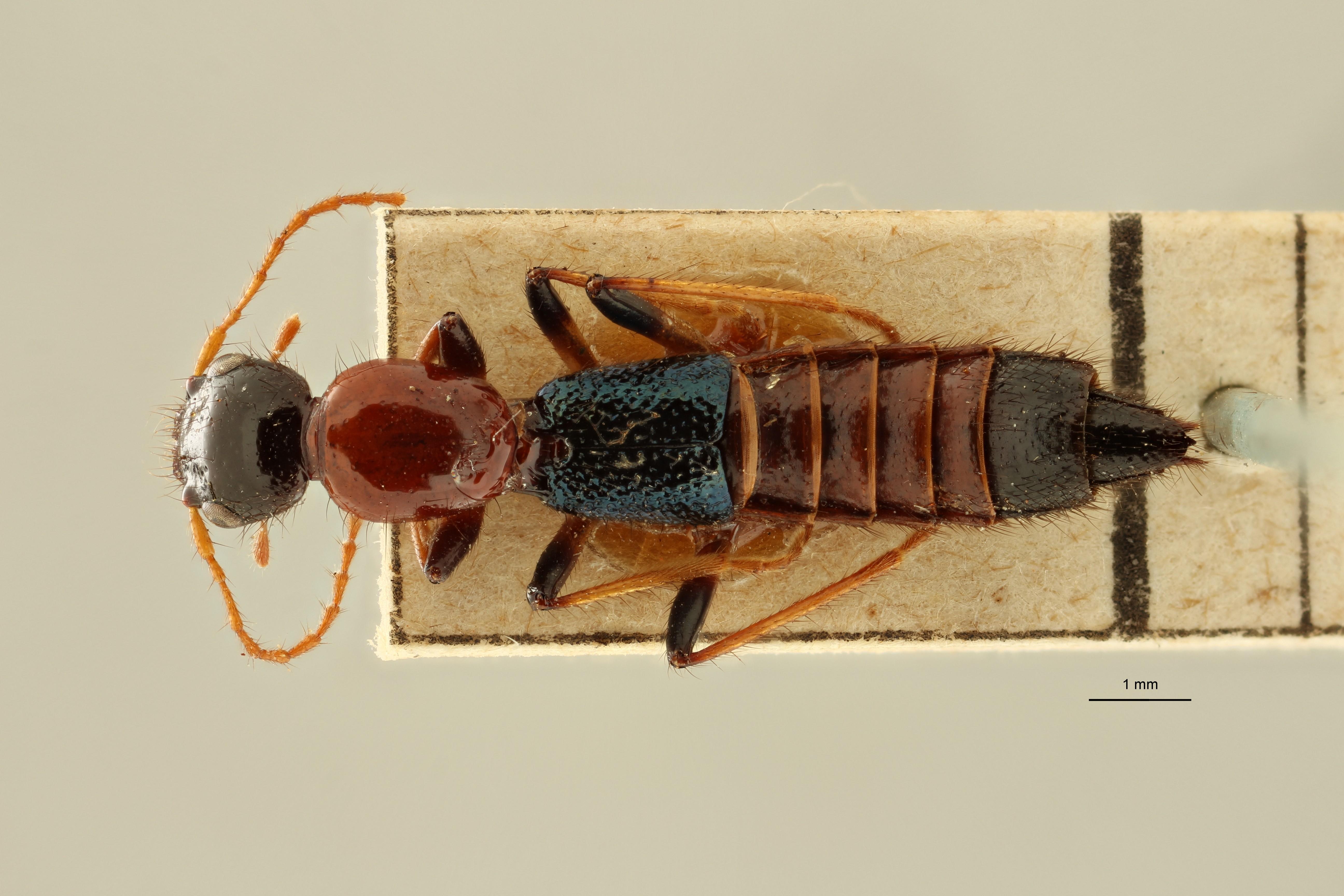 Paederus conicipennis et D ZS PMax Scaled.jpeg