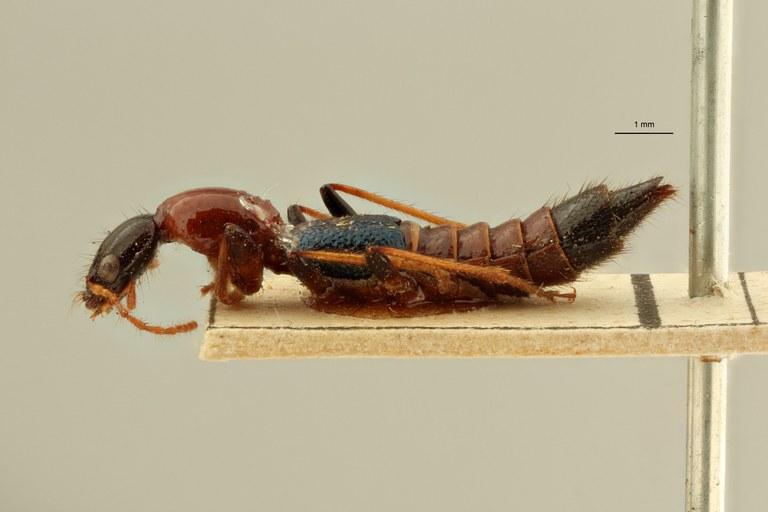 Paederus conicipennis et L ZS PMax Scaled.jpeg