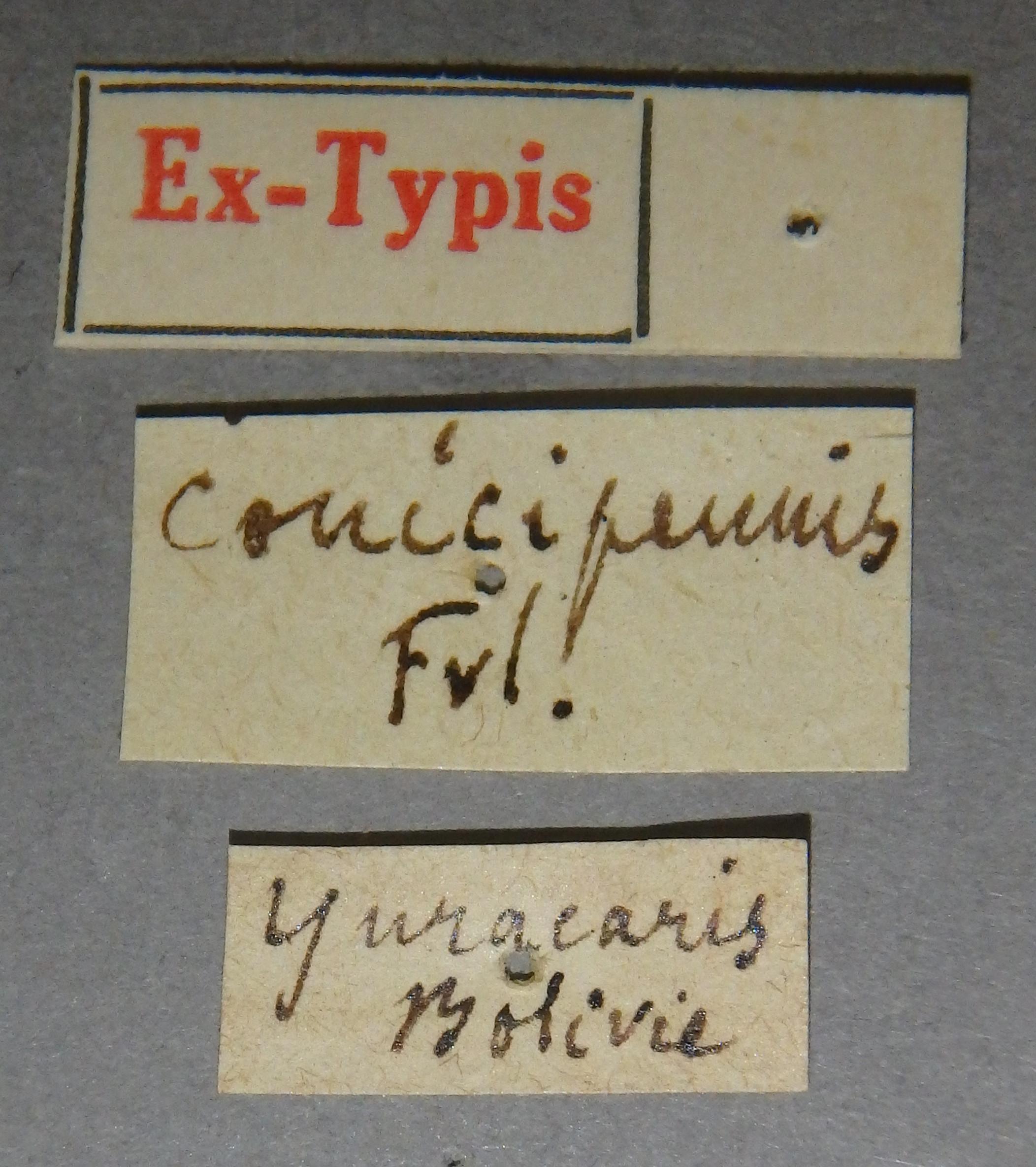 Paederus conicipennis et Lb.JPG