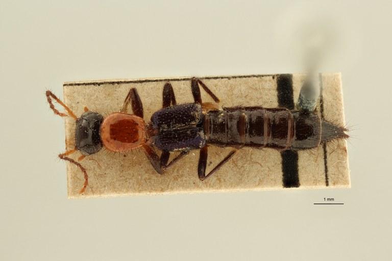 Paederus doriae et D ZS PMax Scaled.jpeg