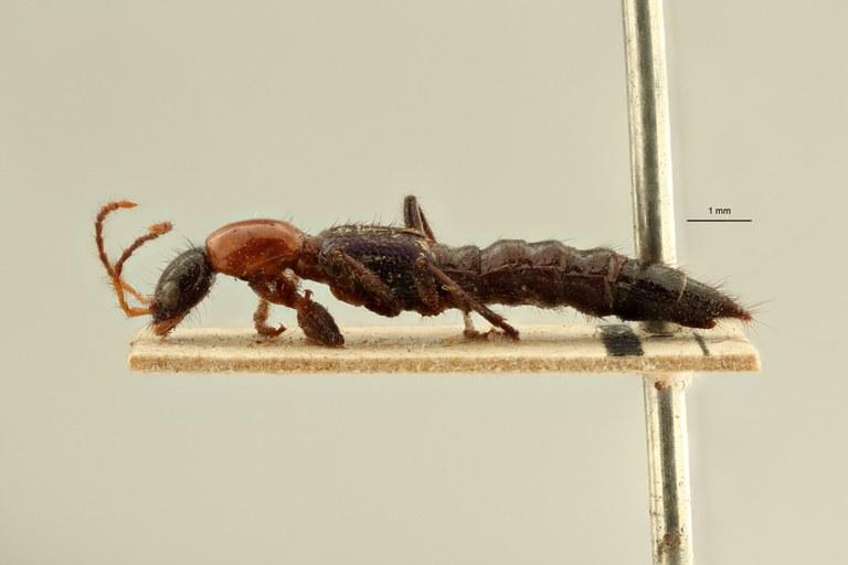 Paederus doriae et L ZS PMax Scaled.jpeg