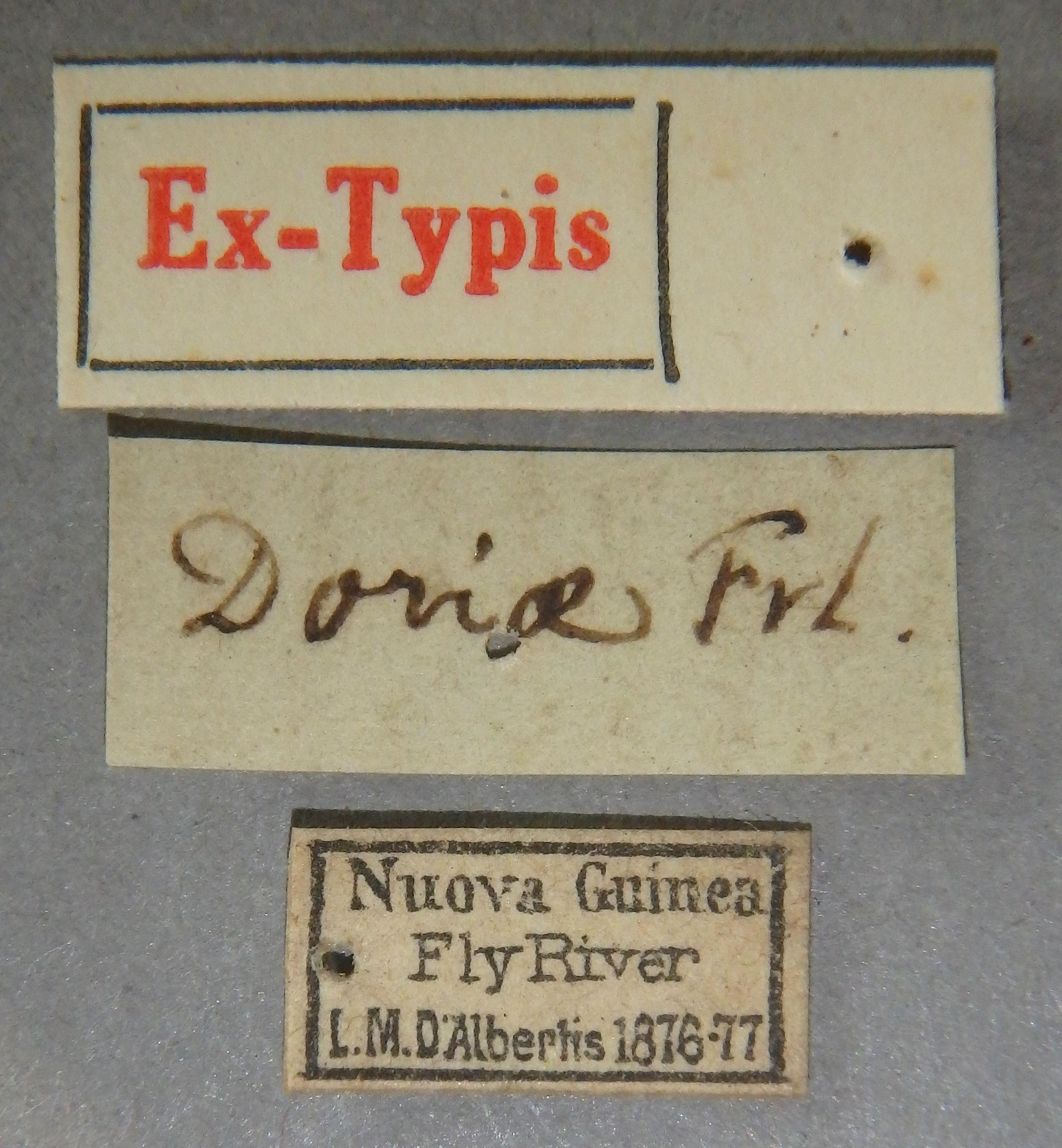 Paederus doriae et Lb.JPG