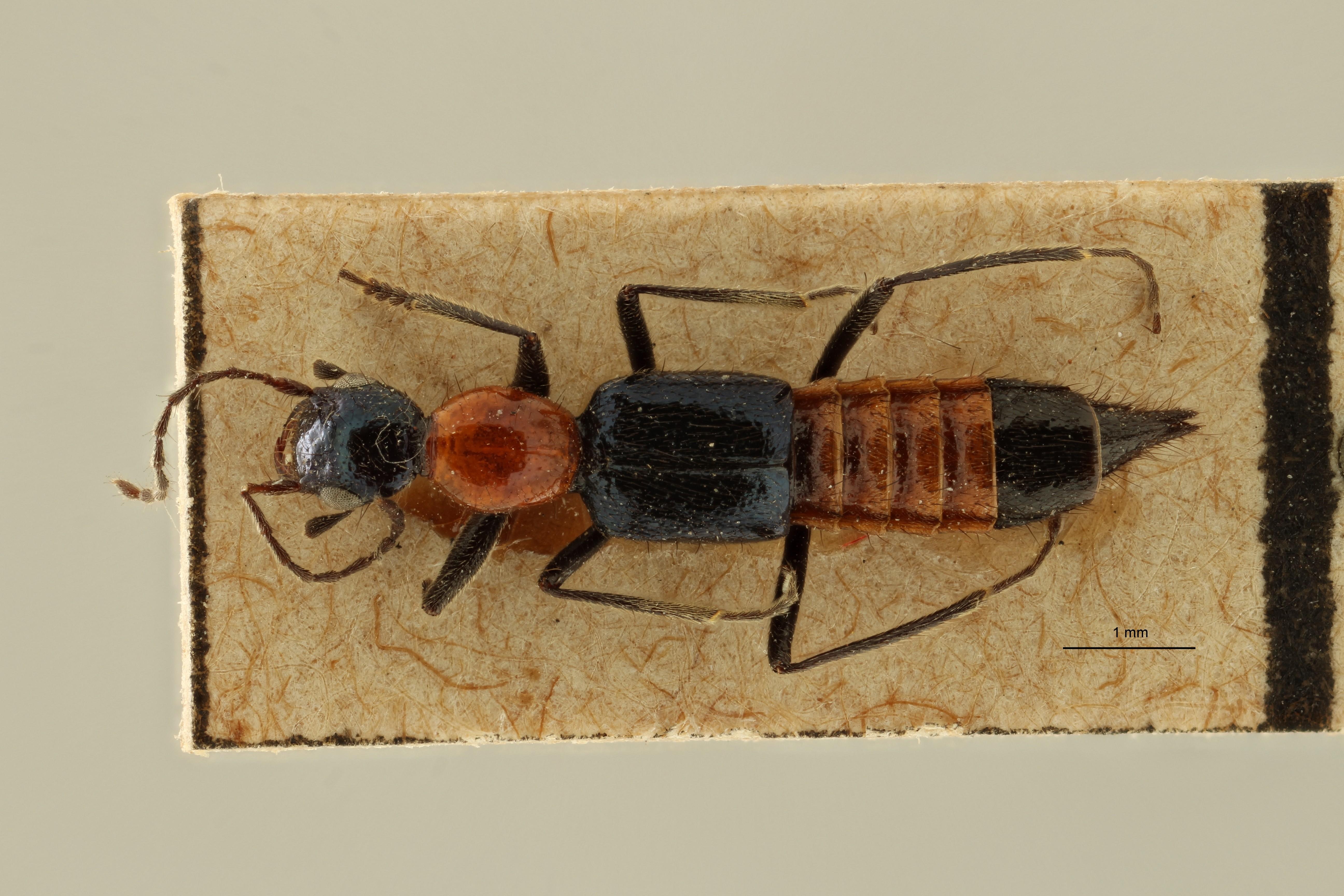 Paederus (Eopaedus) birmanus et D ZS PMax Scaled.jpeg