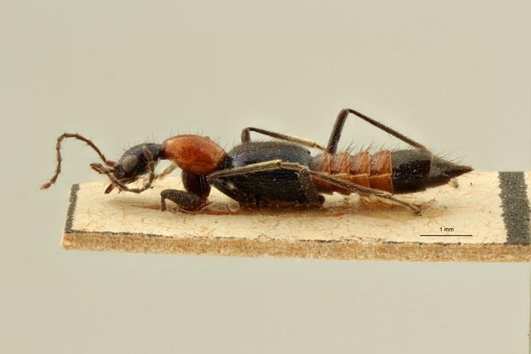 Paederus (Eopaedus) birmanus et L ZS PMax Scaled.jpeg