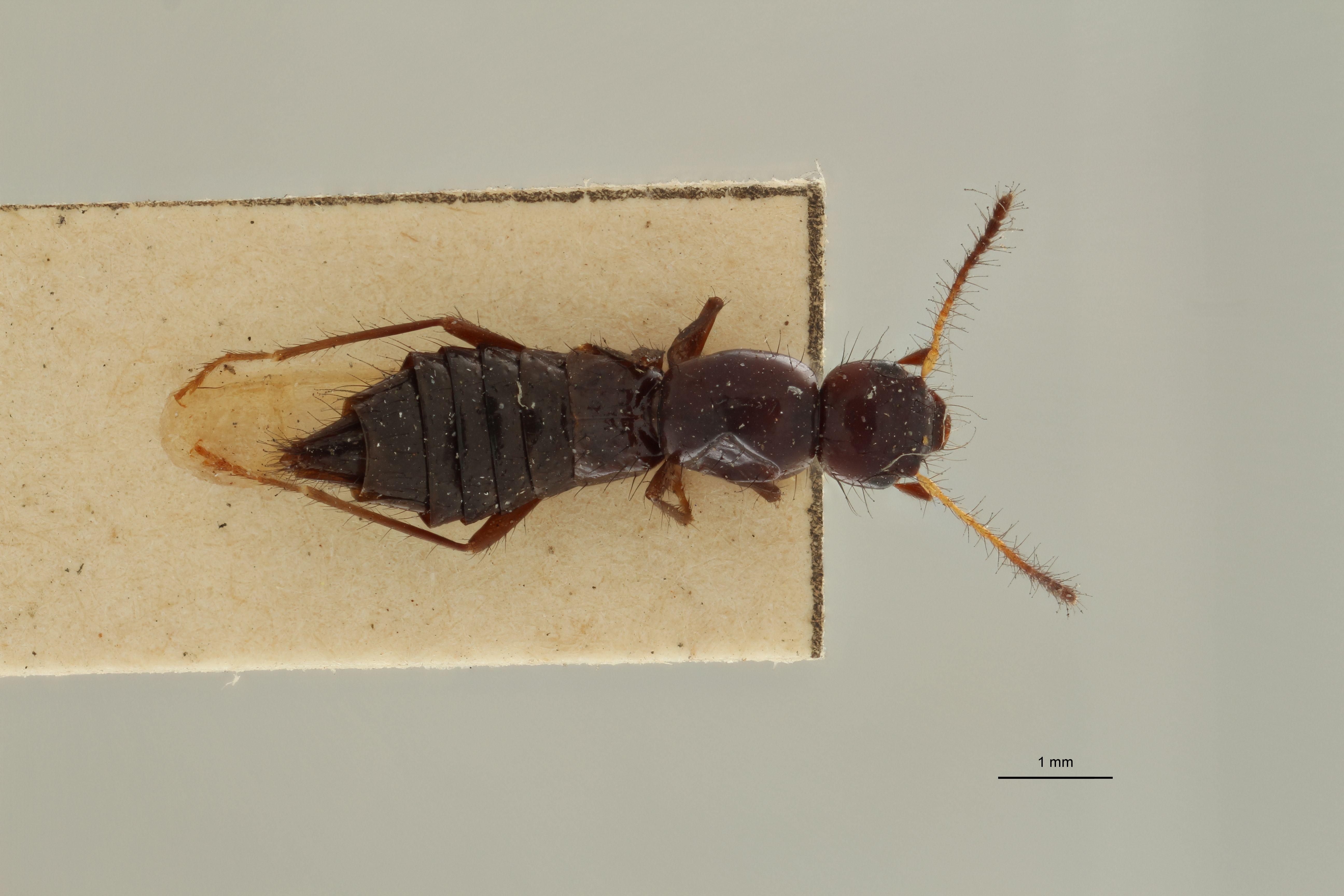 Paederus forficularius t D.jpg