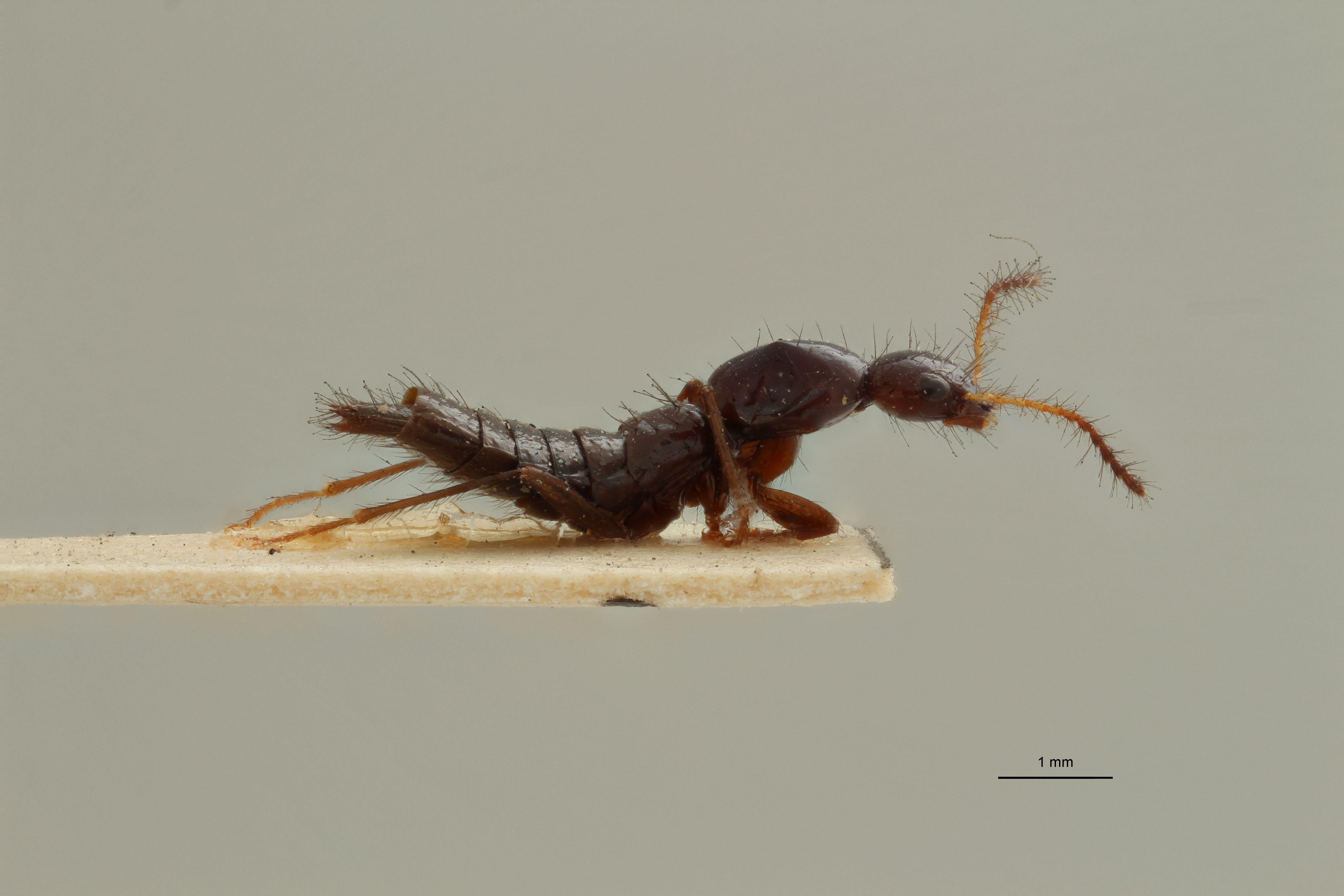 Paederus forficularius t L.jpg