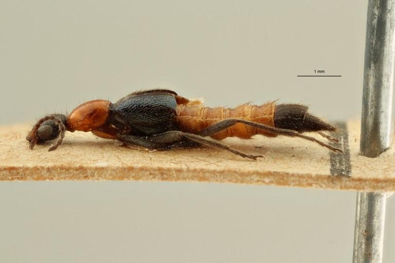 Paederus (Paederus) coxalis et L ZS PMax Scaled.jpeg