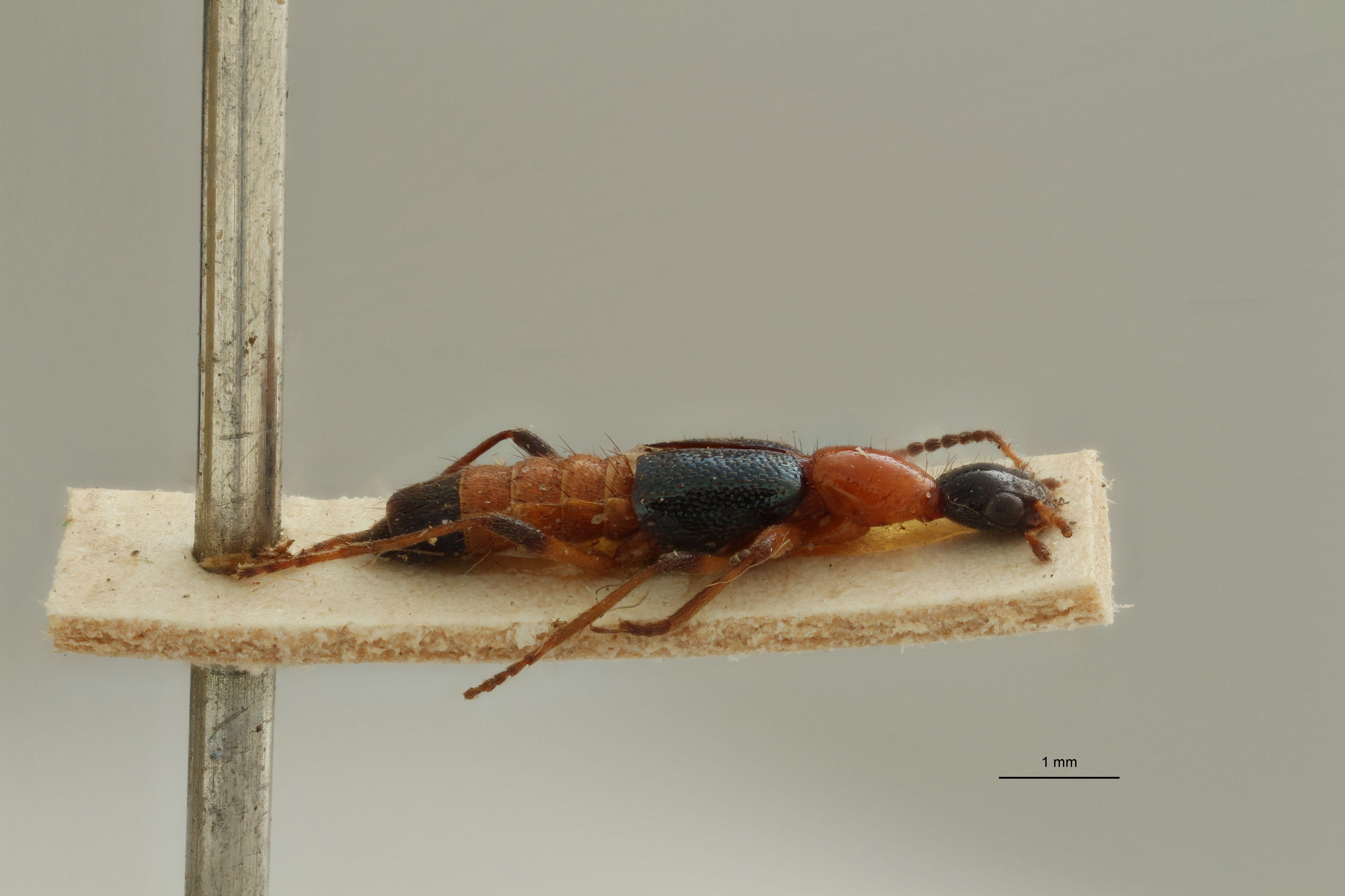 Paederus (Paederus) longiceps ex t L.jpg
