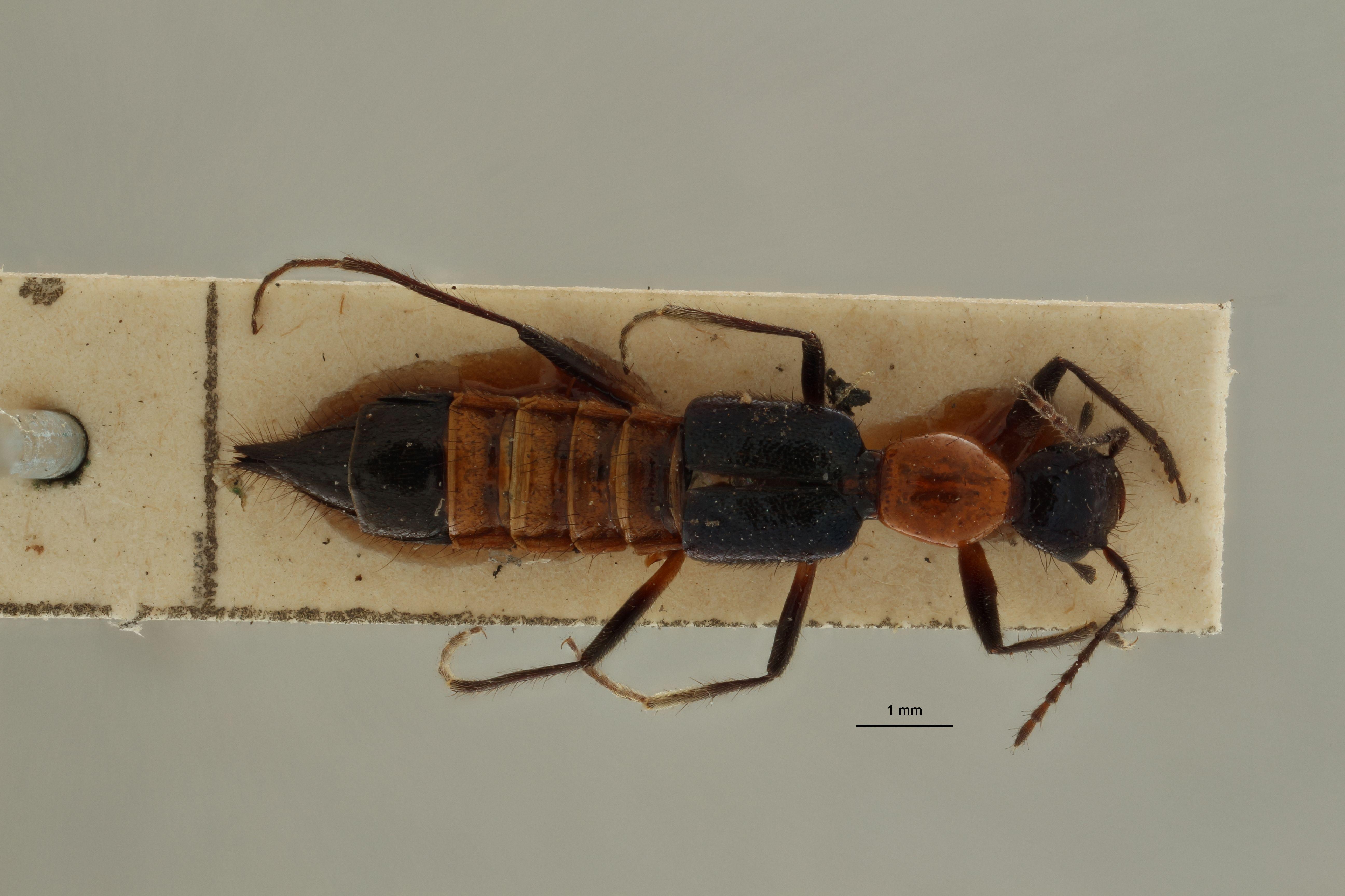 Paederus variicornis ex t D.jpg