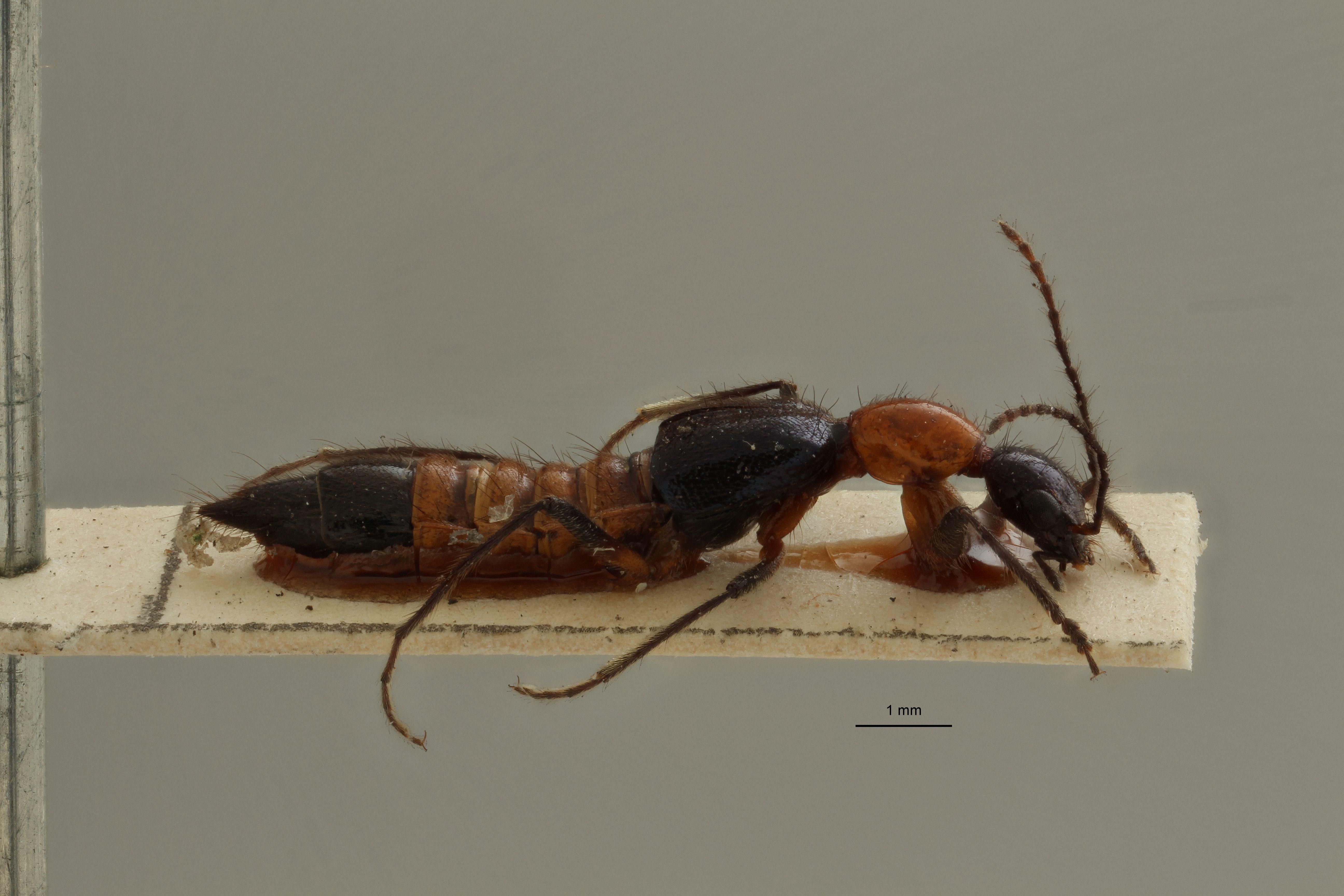 Paederus variicornis ex t L.jpg