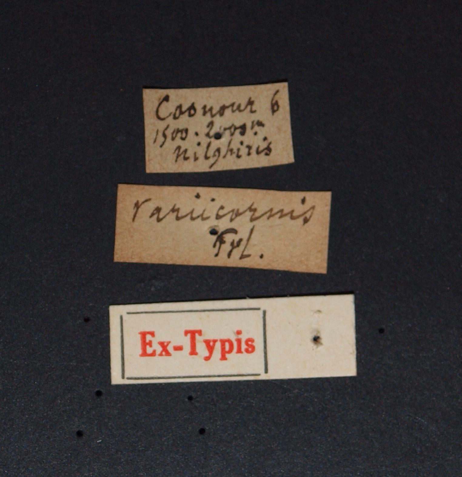 Paederus variicornis ex t.JPG