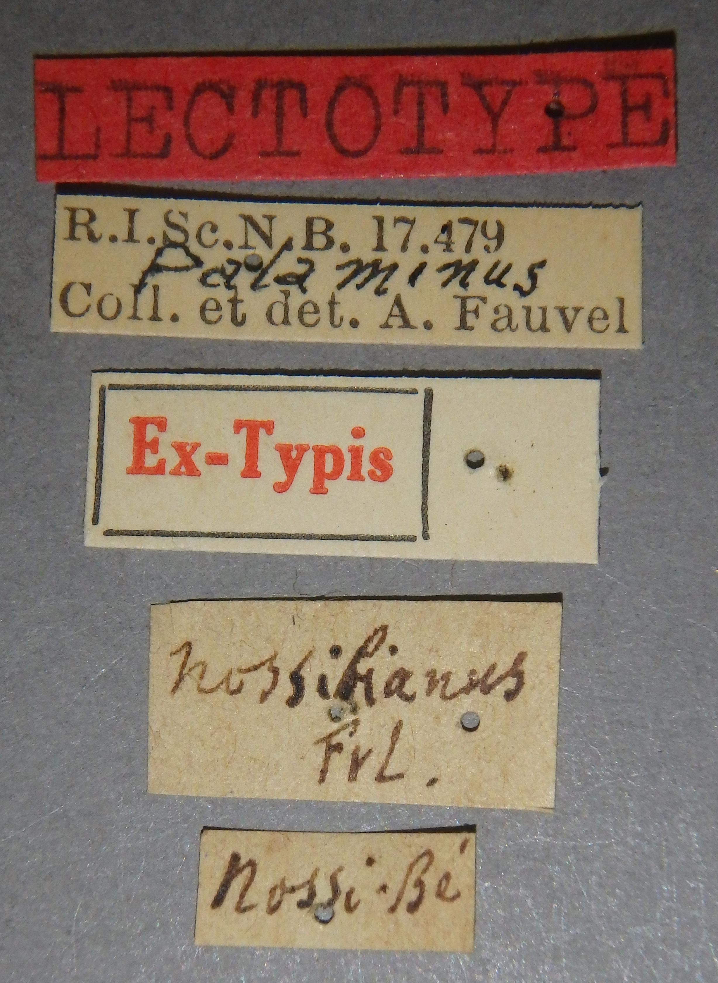 Palaminus nossibianus lt Lb.JPG