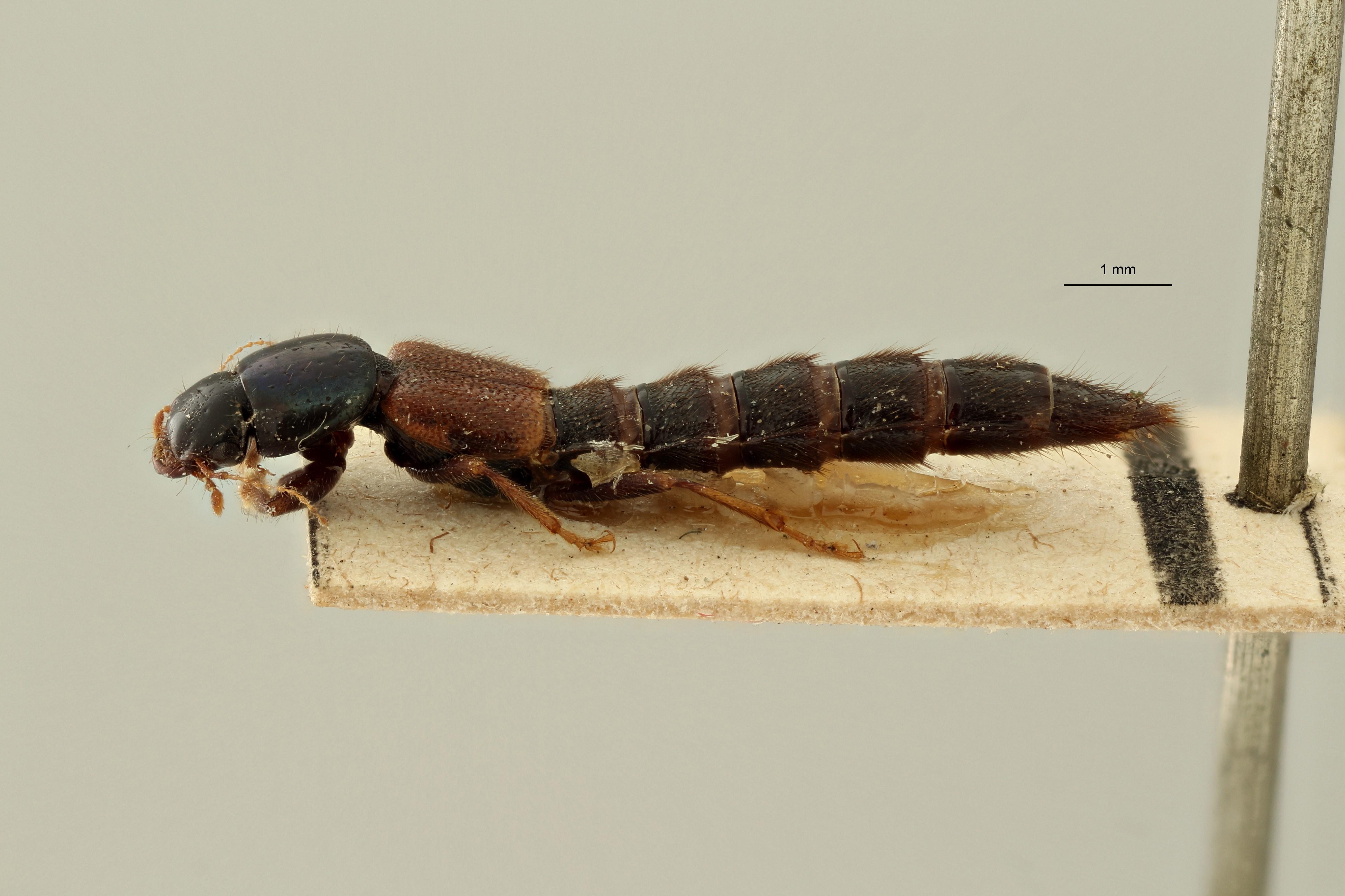 Pinophilus beccarii et L ZS PMax Scaled.jpeg