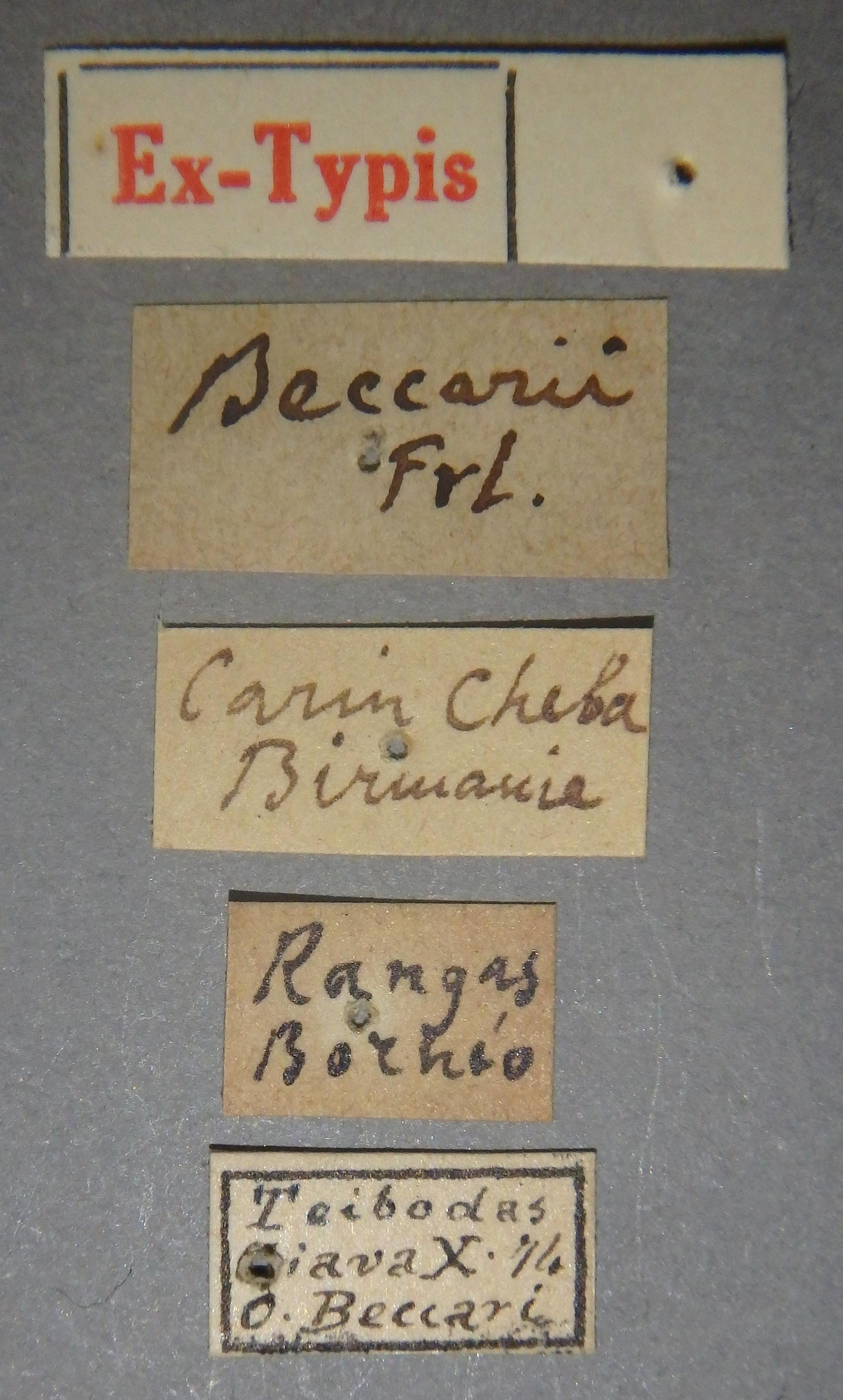 Pinophilus beccarii et Lb.JPG