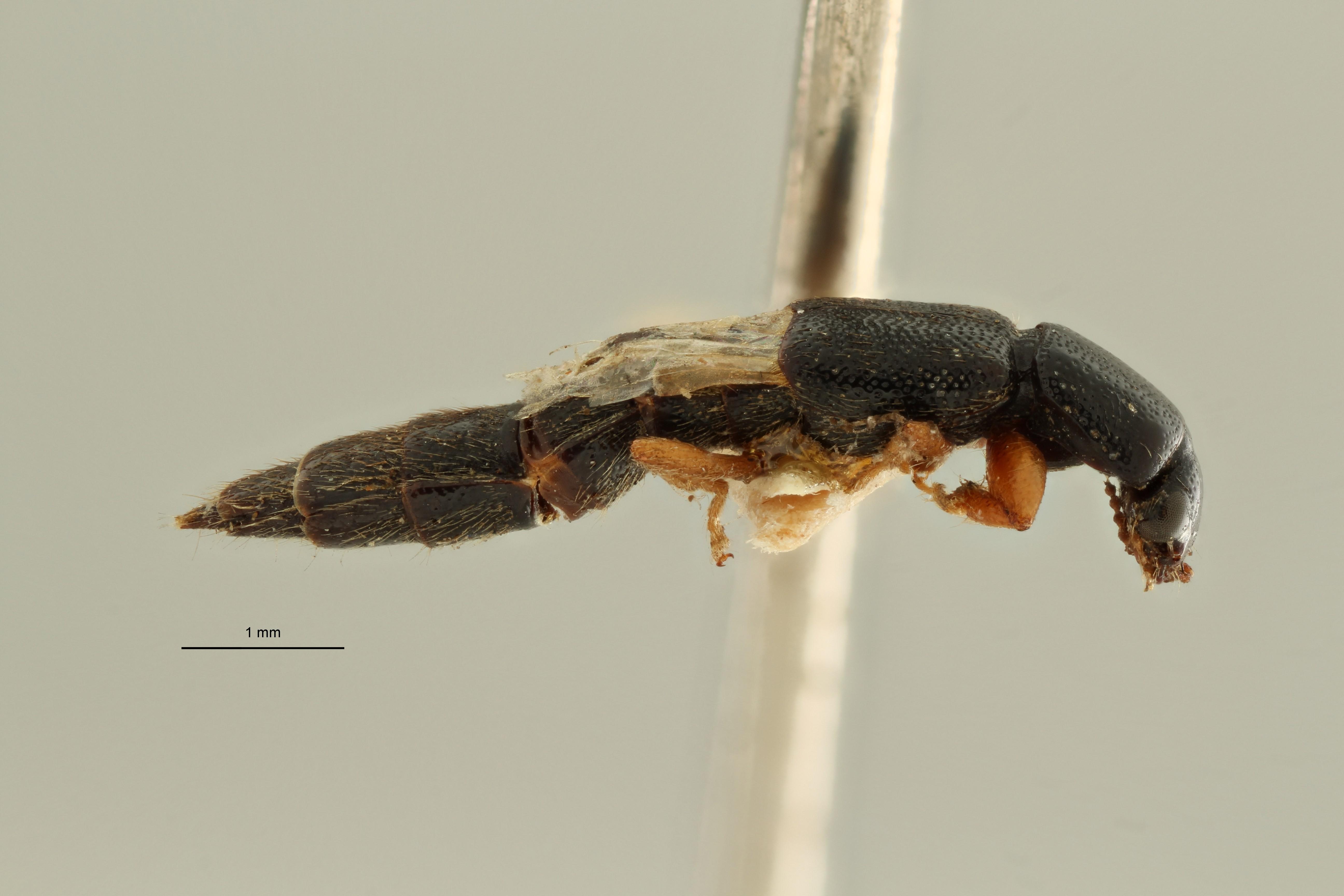 Pinophilus bergi et L ZS PMax Scaled.jpeg
