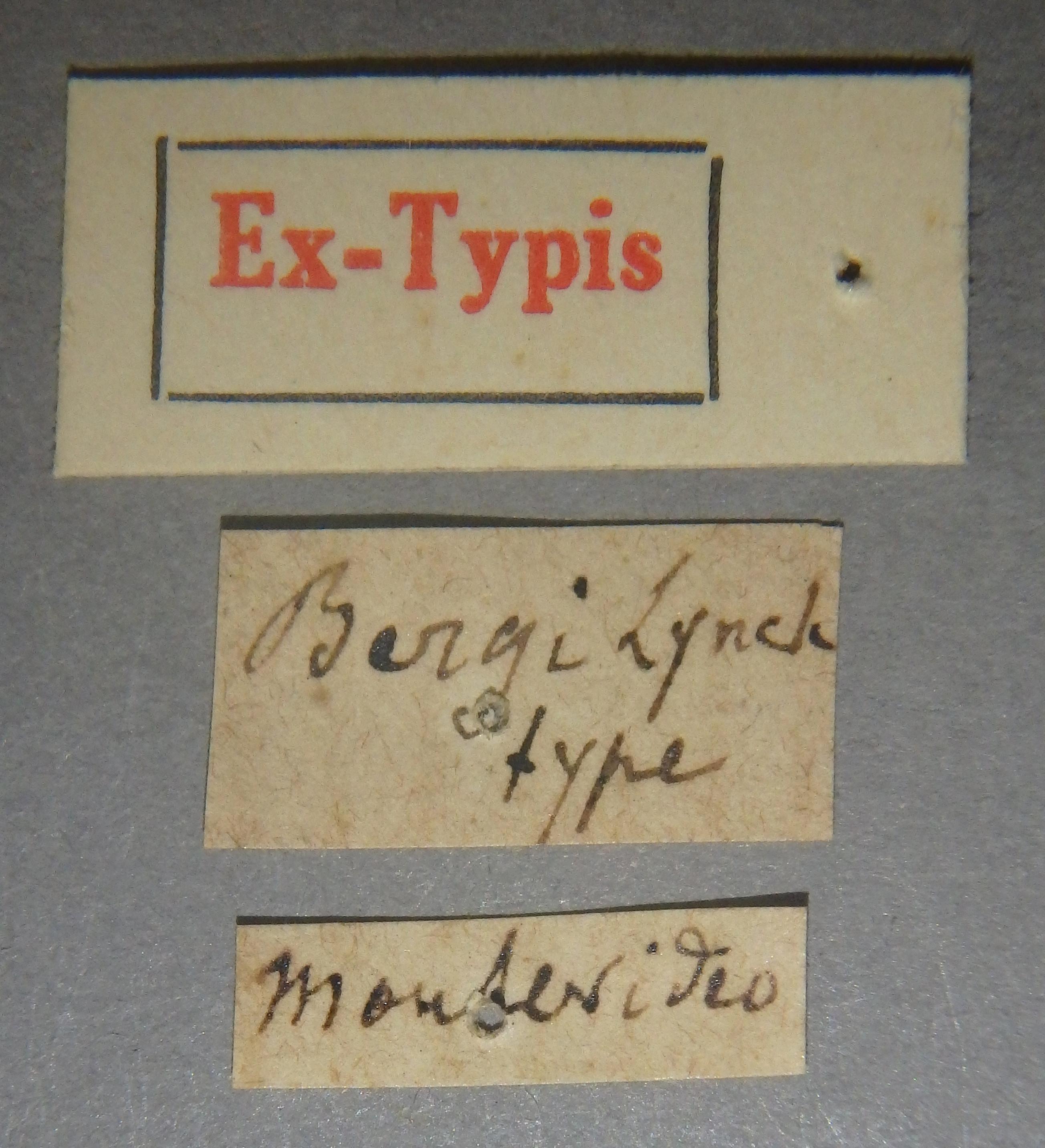 Pinophilus bergi et Lb.JPG