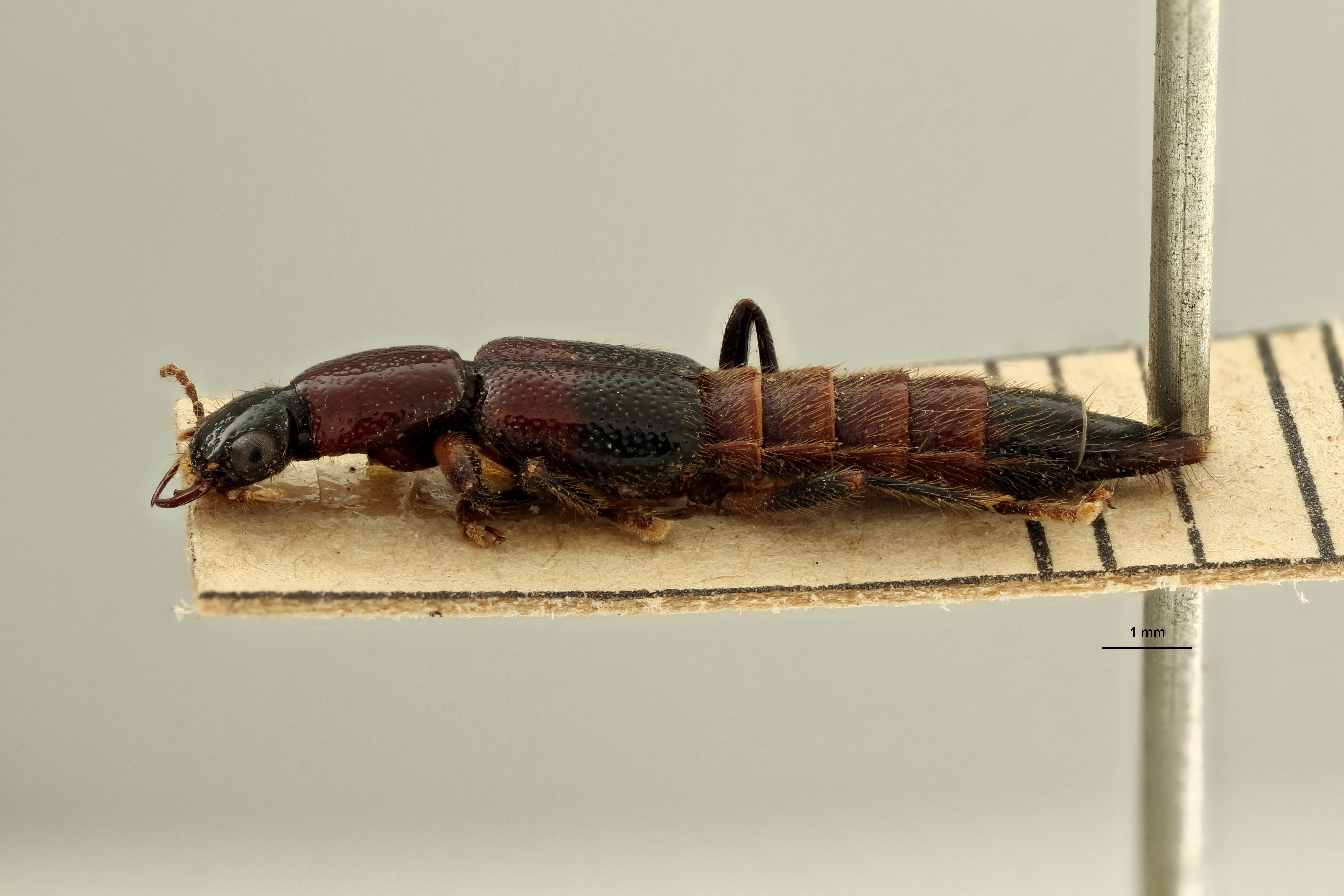 Pinophilus bruchi et L ZS PMax Scaled.jpeg