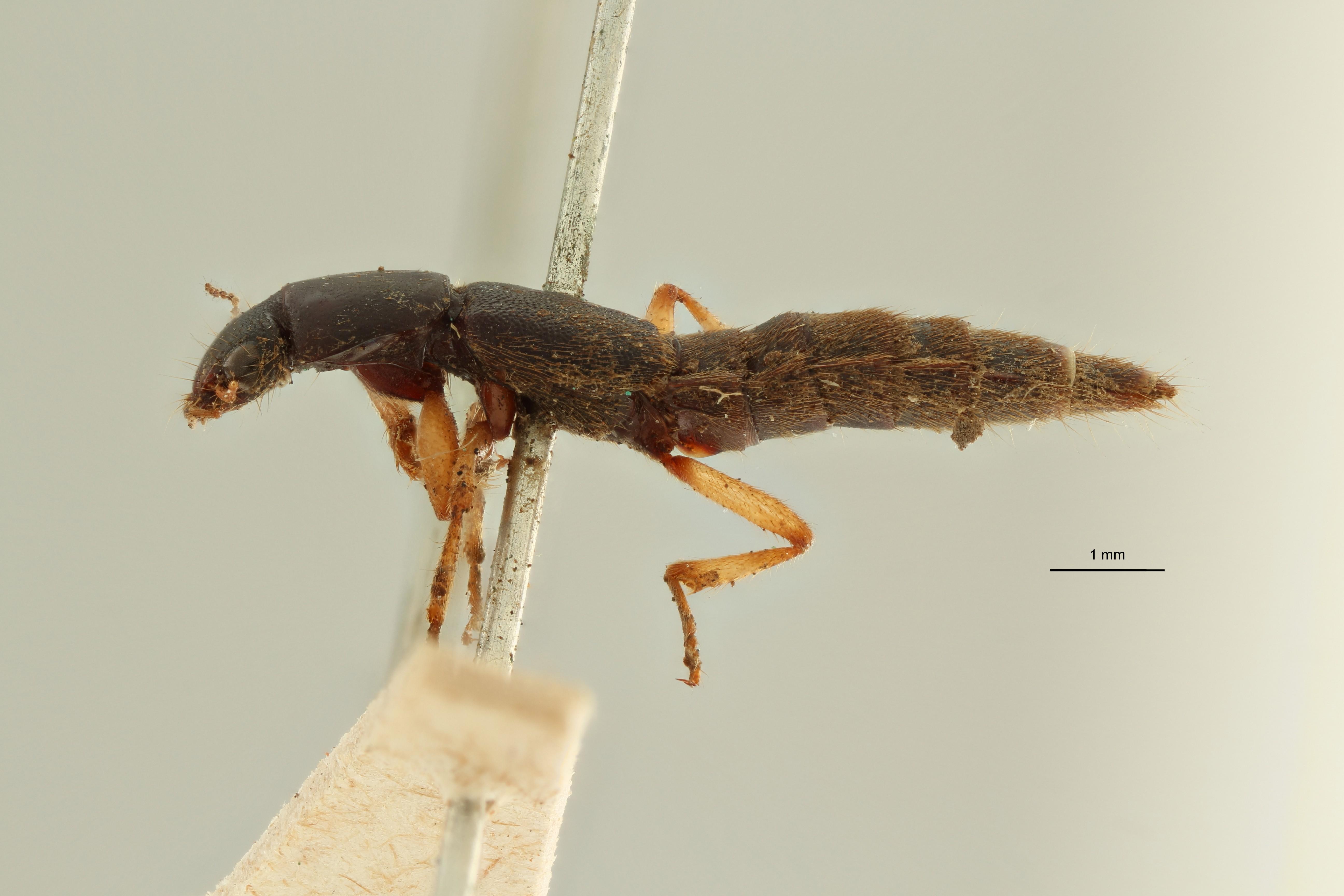 Pinophilus incultus et L ZS PMax Scaled.jpeg