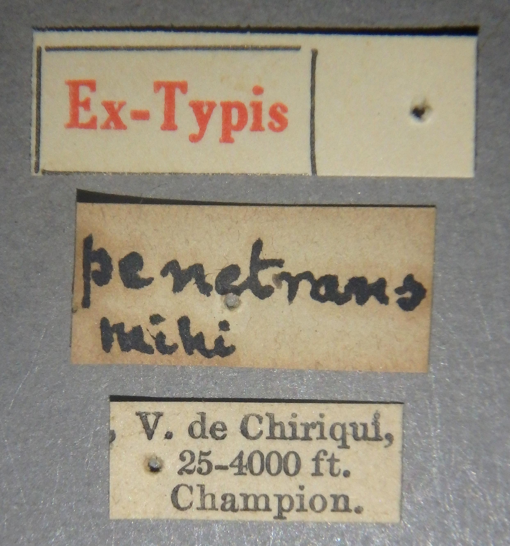 Pinophilus penetrans et Lb.JPG