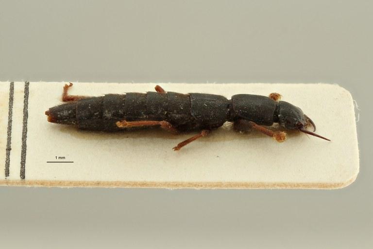 Pinophilus schuberti et L ZS PMax Scaled.jpeg