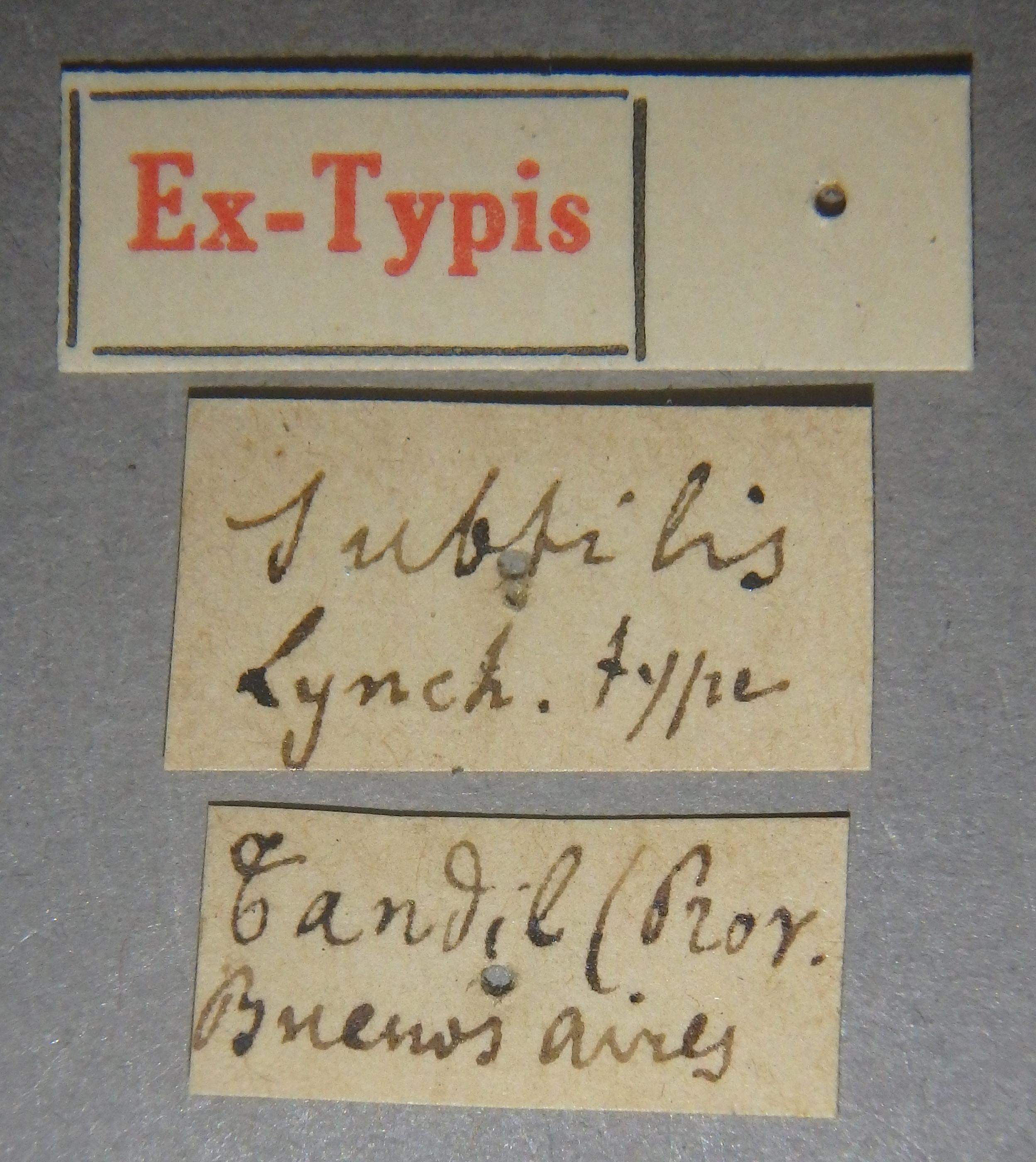 Pinophilus subtilis et Lb.JPG
