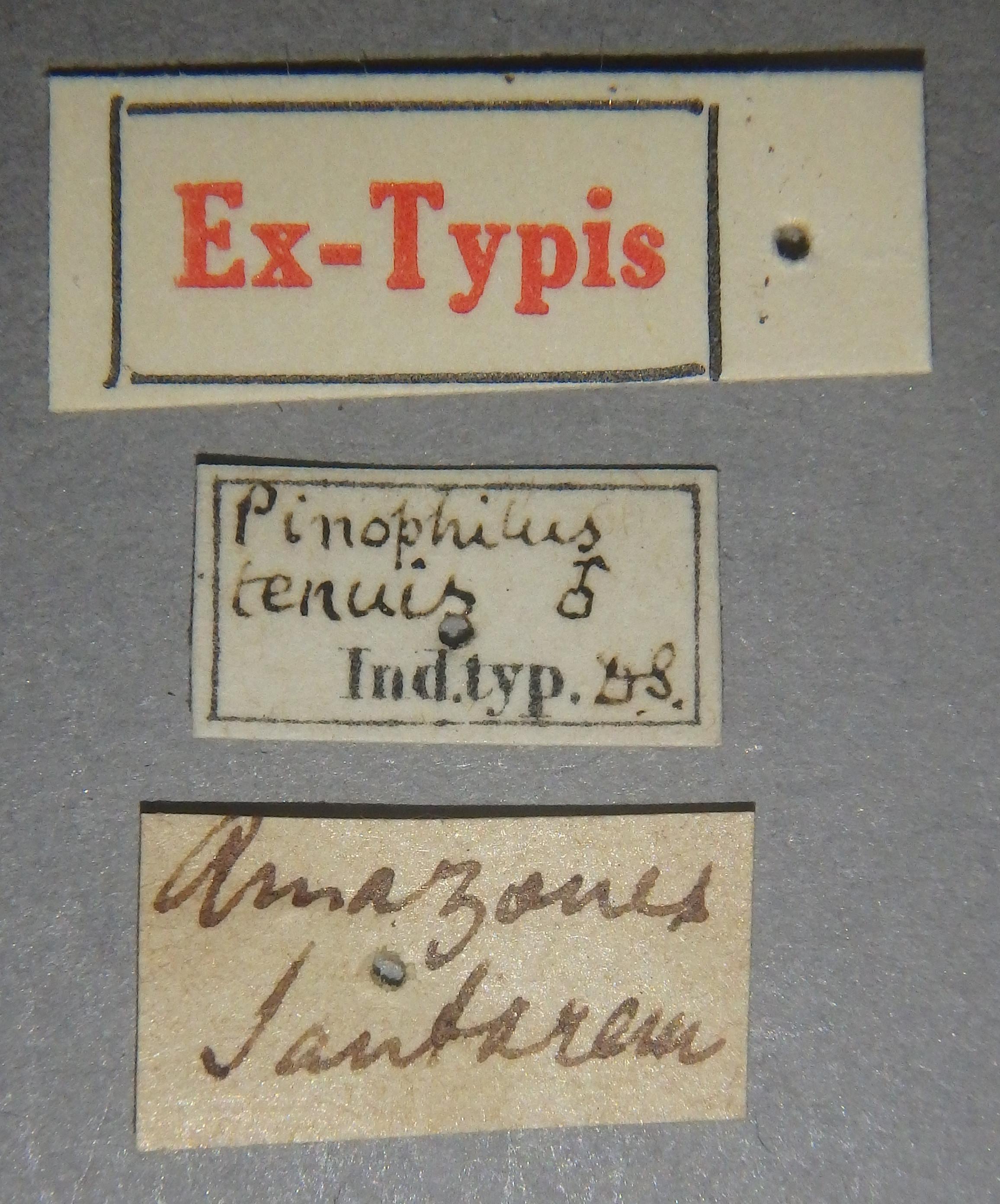 Pinophilus tenuis et Lb.JPG