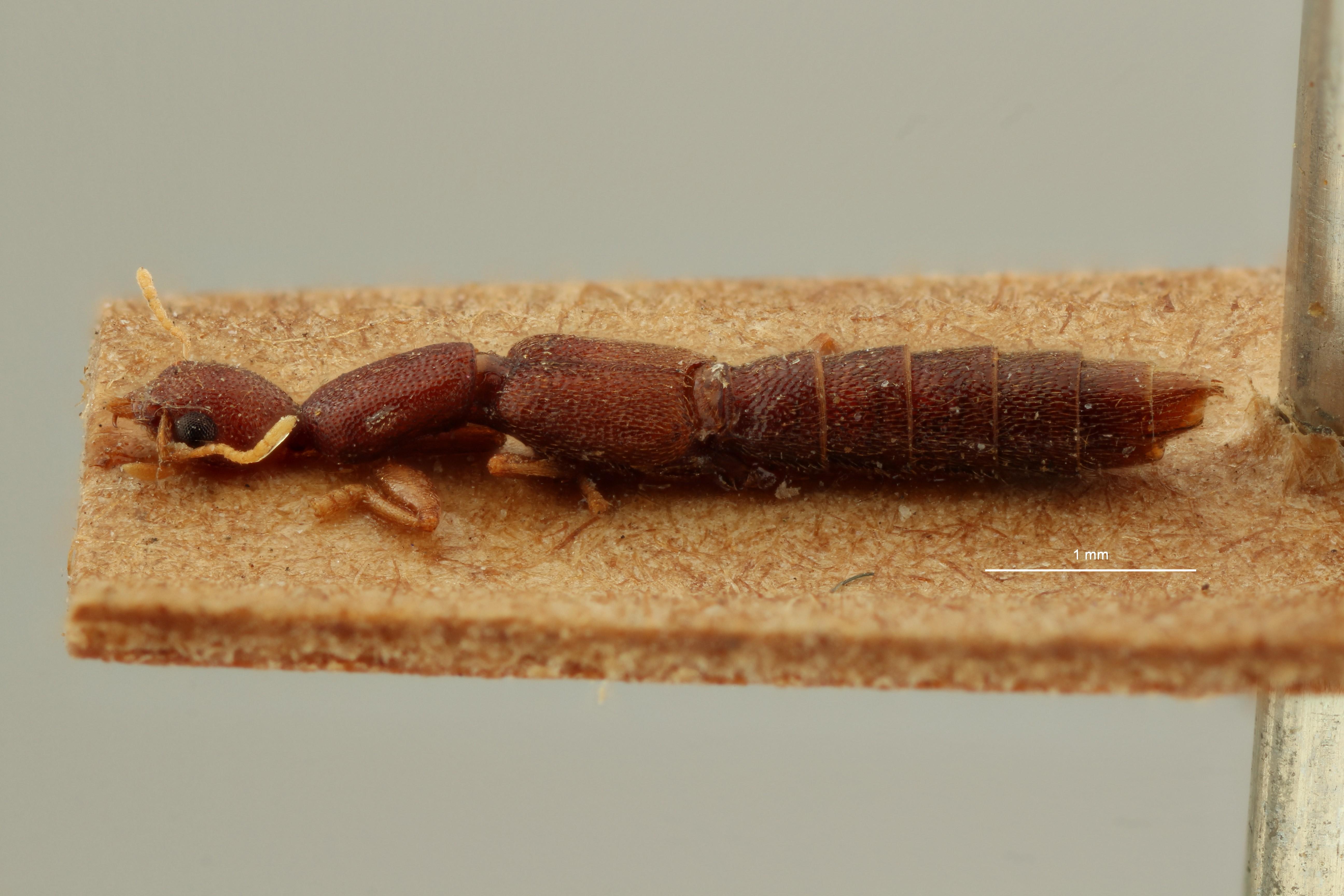 Procirrus aristidis t L ZS PMax Scaled.jpeg