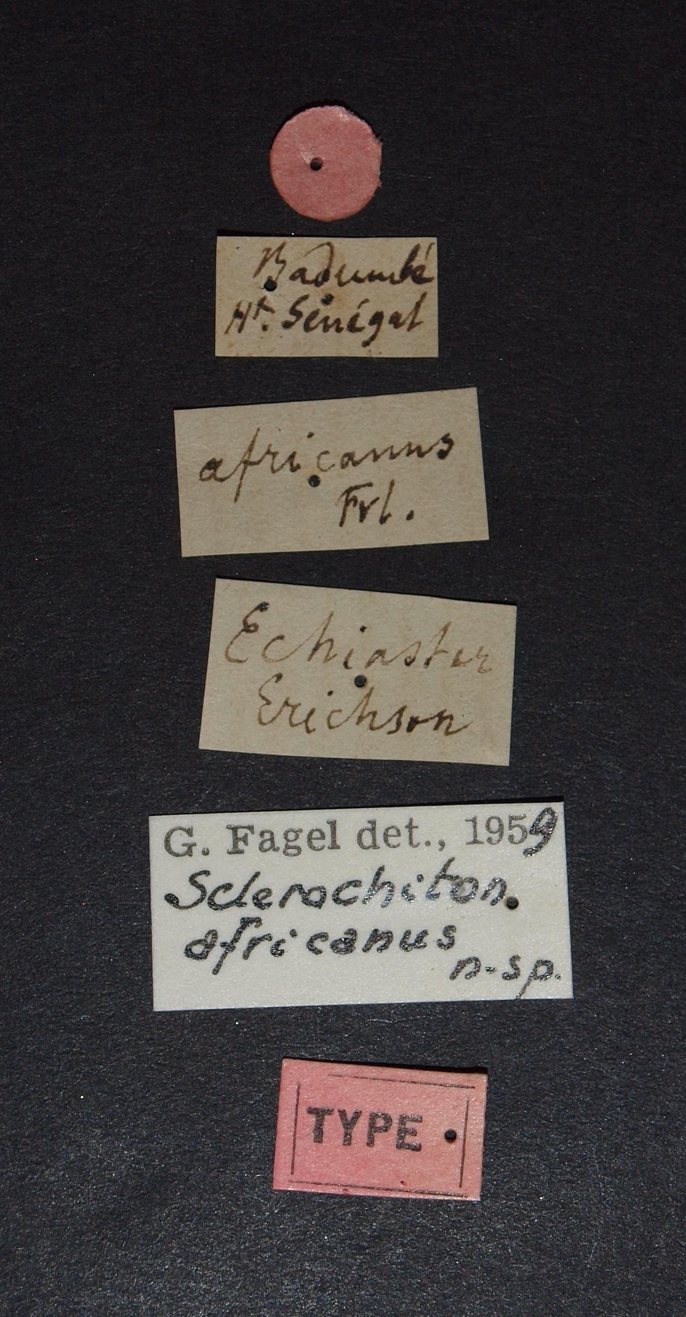 Sclerochiton africanus t.JPG