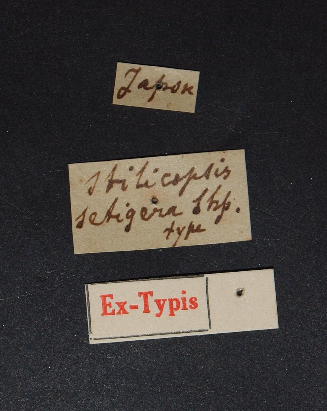 Stilicopsis setigera ex t.JPG