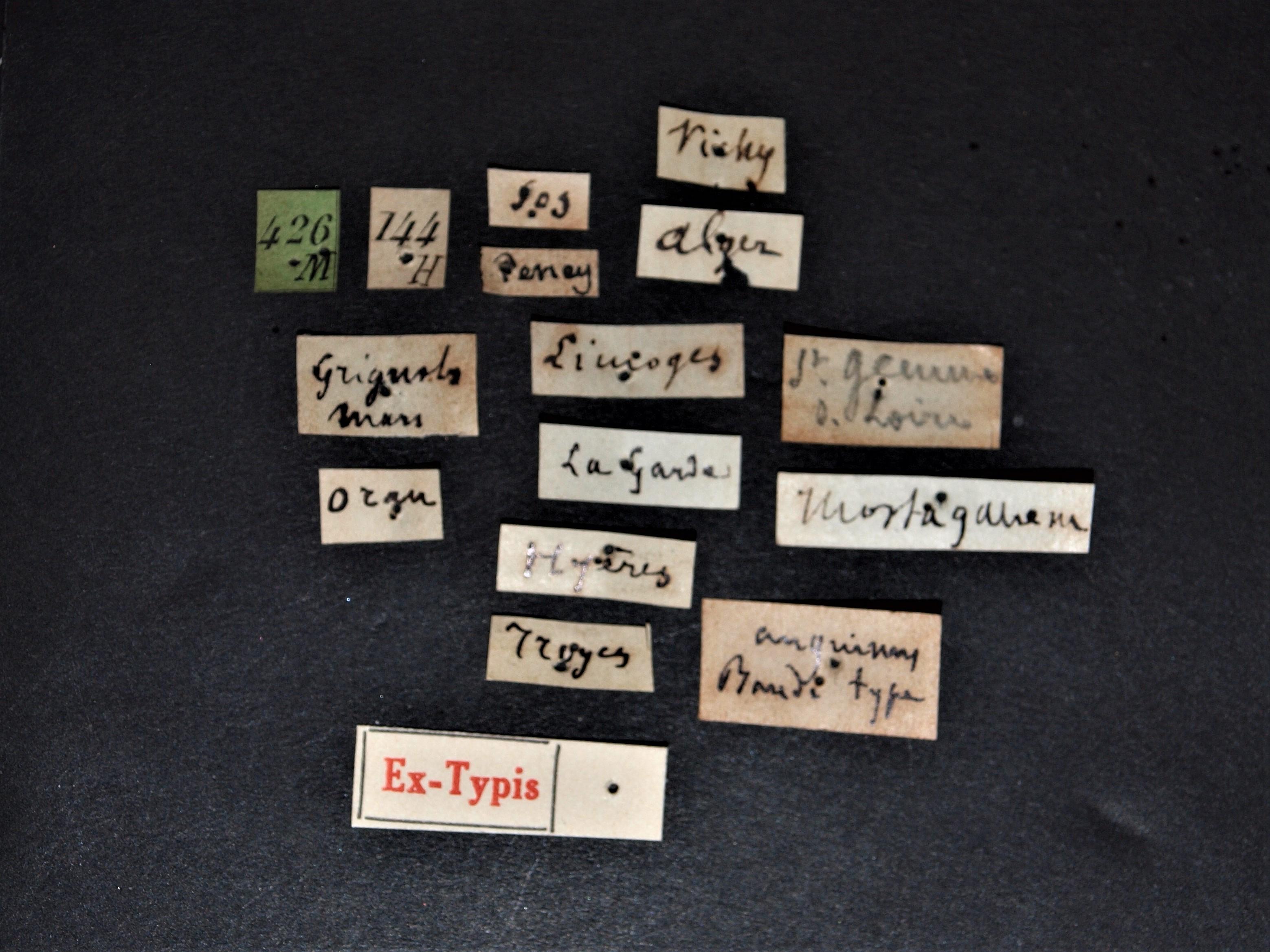 Sunius anguinus ex t.JPG