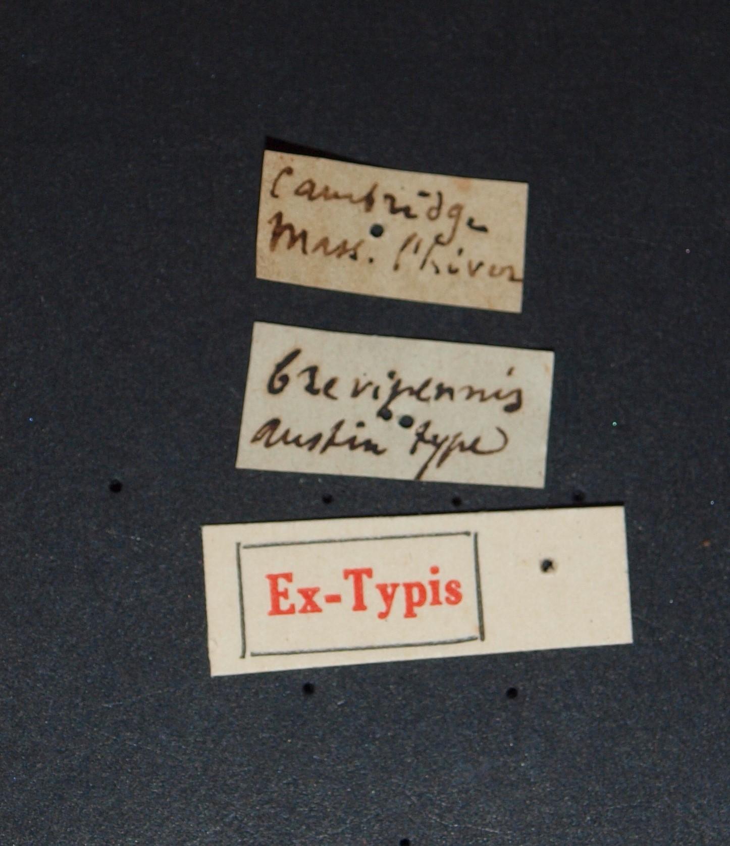 Sunius brevipennis ex t.JPG