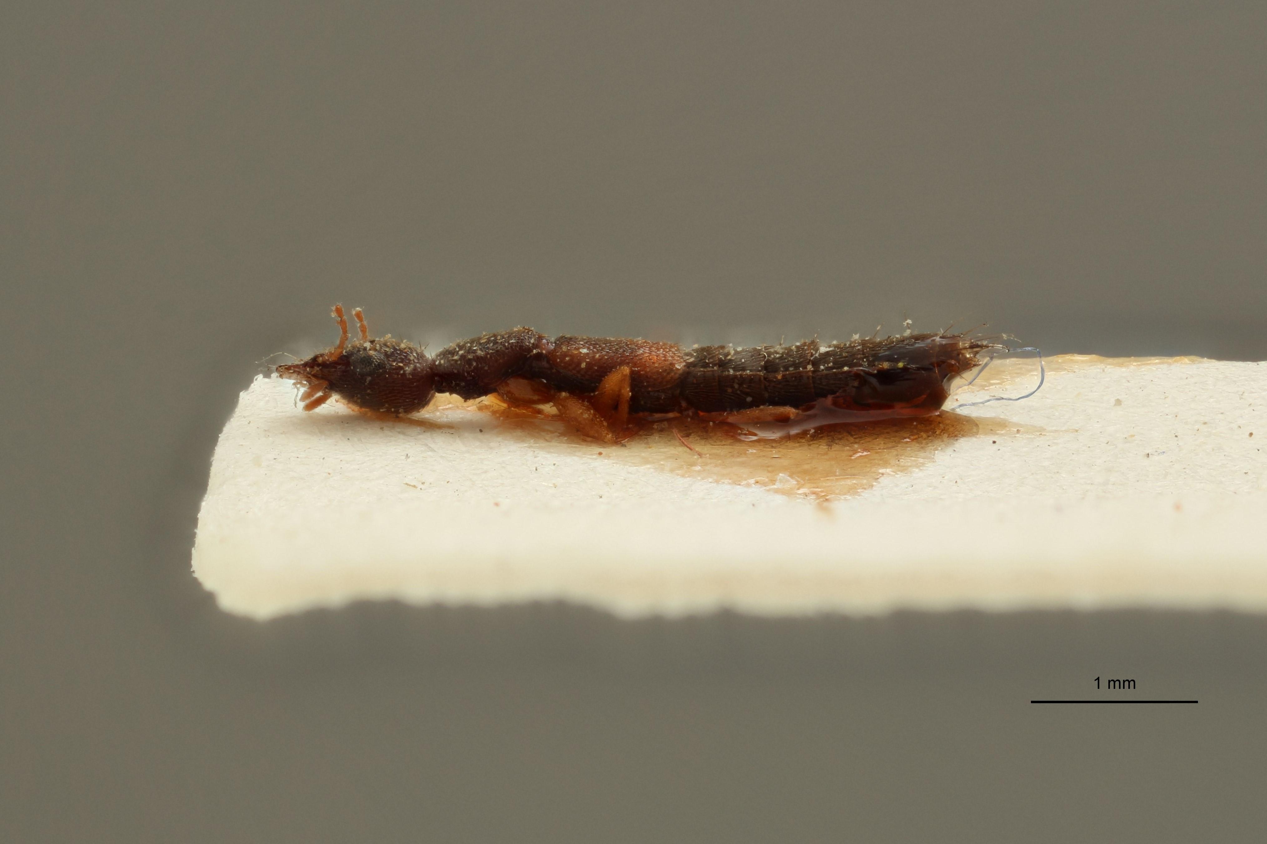 Sunius cribrellus ex t L.jpg