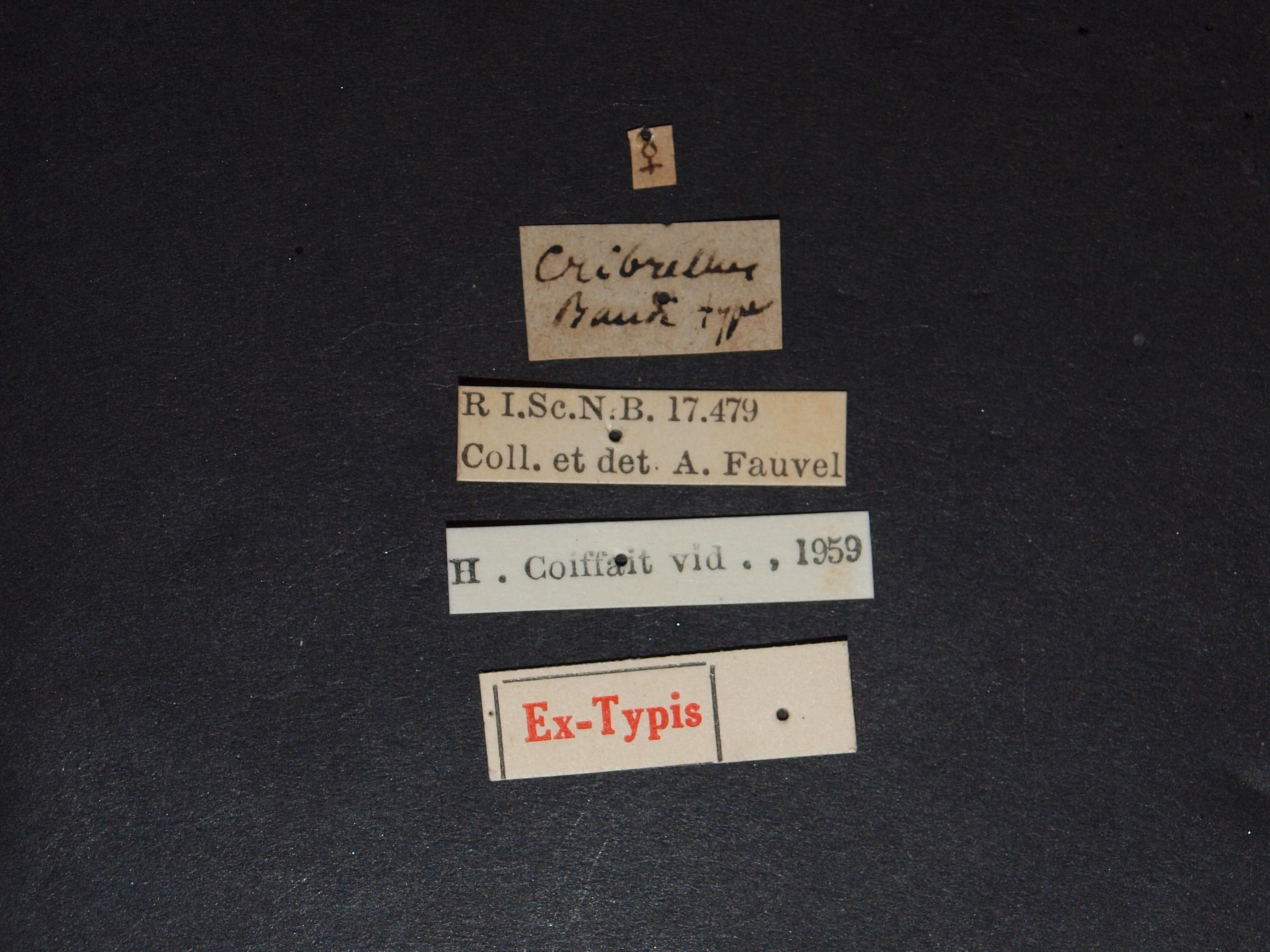 Sunius cribrellus ex t.JPG