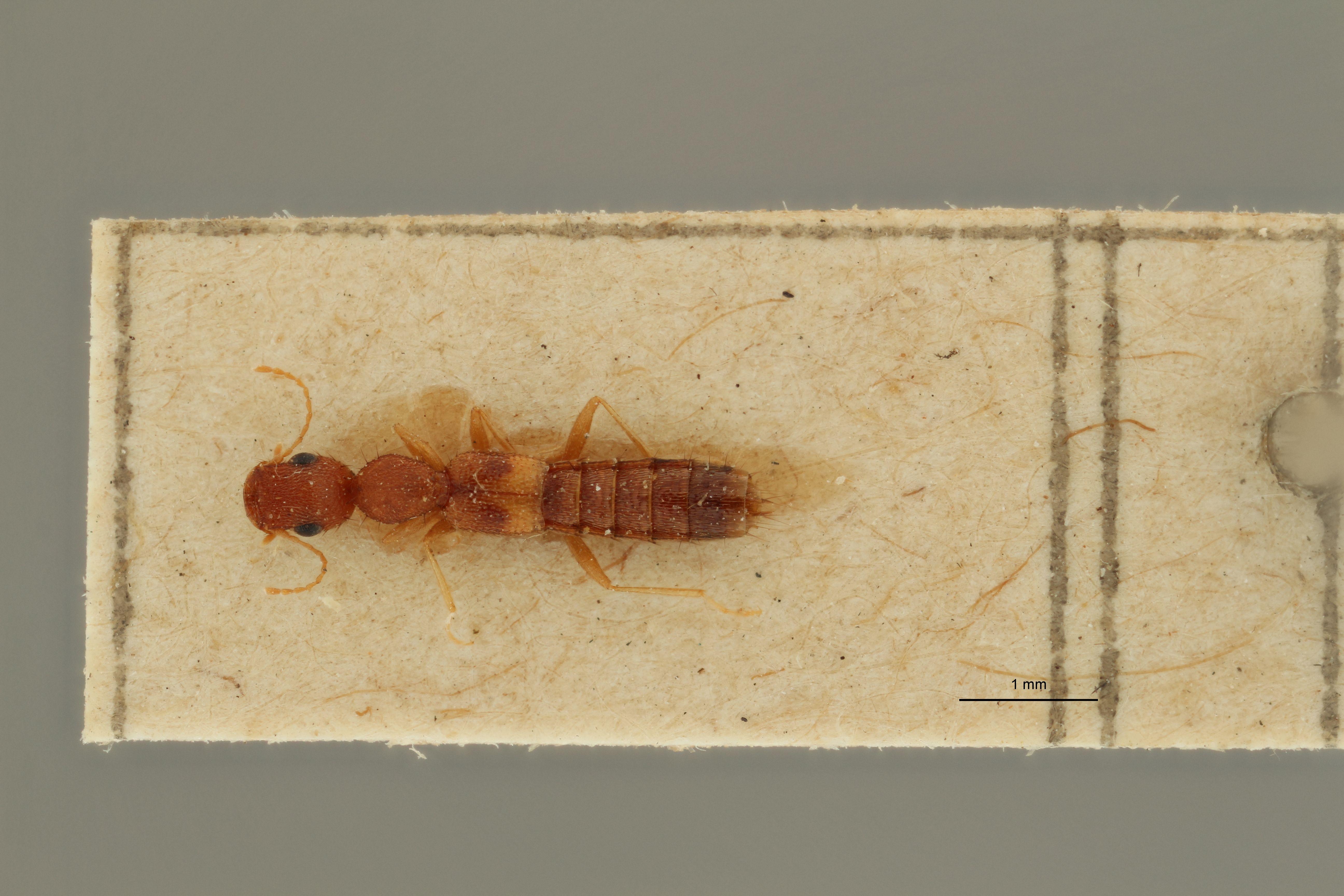 Sunius gracilicornis ex t D.jpg
