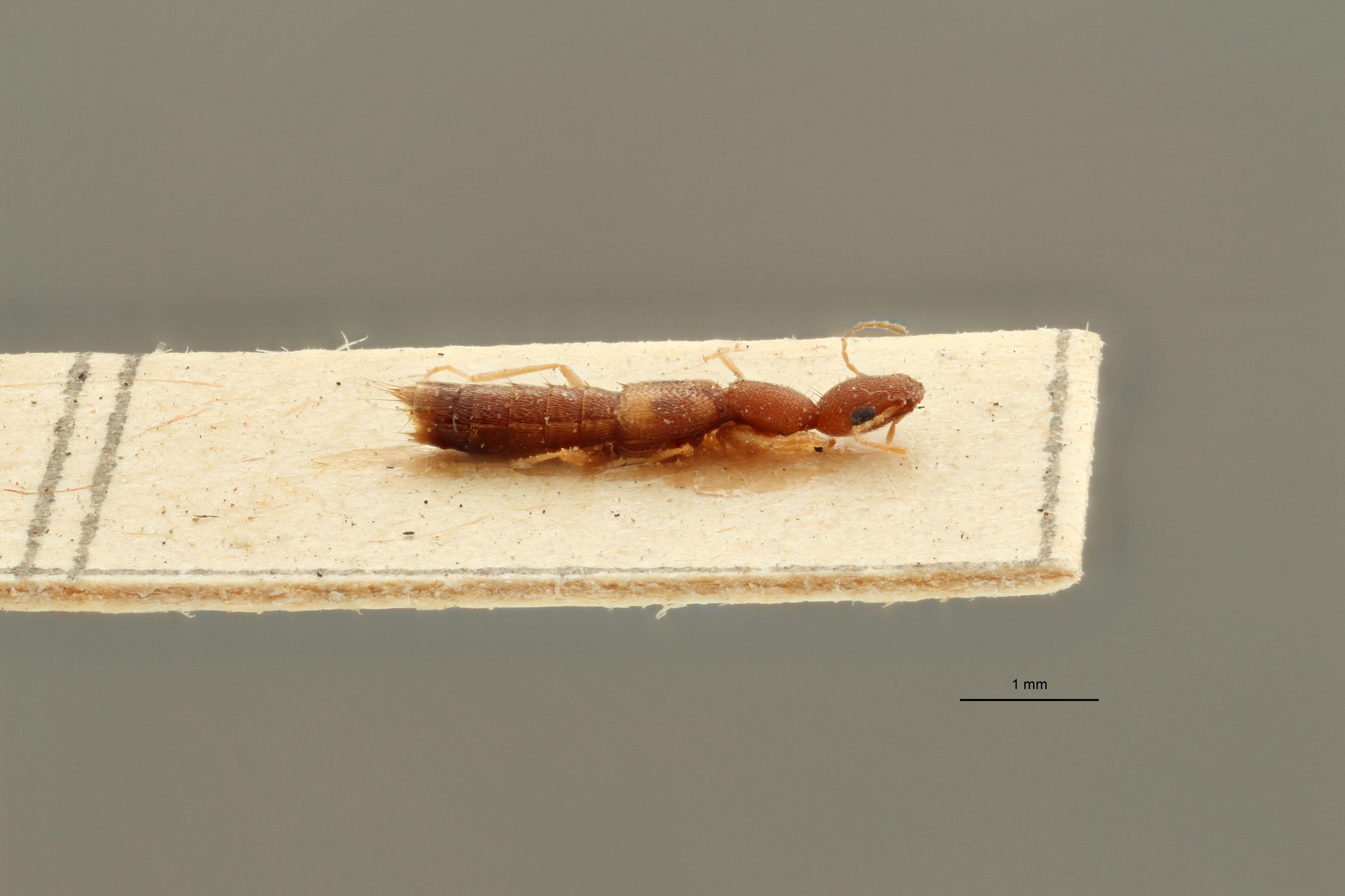 Sunius gracilicornis ex t L.jpg