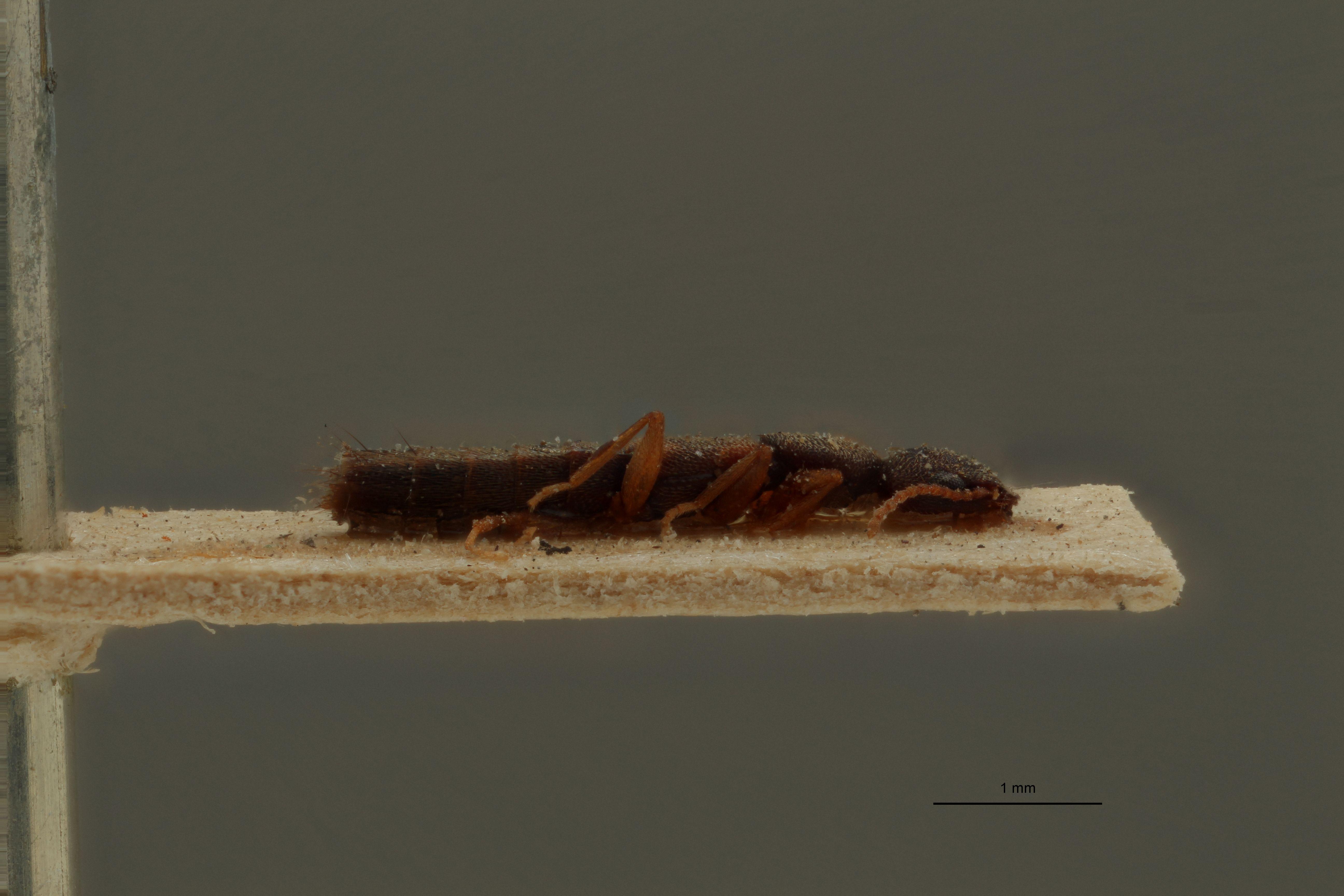Sunius humeralis ex t L.jpg