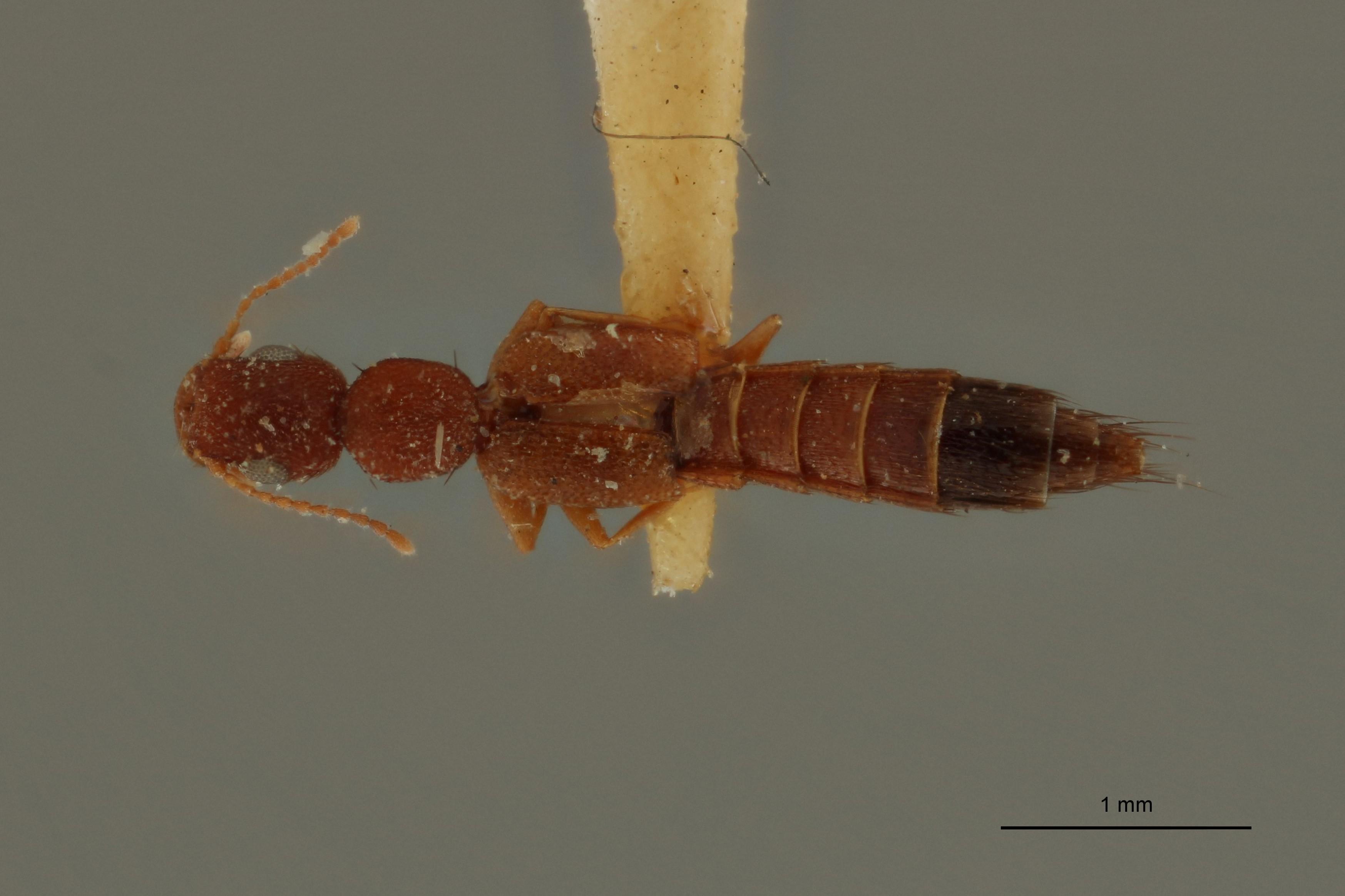 Sunius similis ex t D.jpg