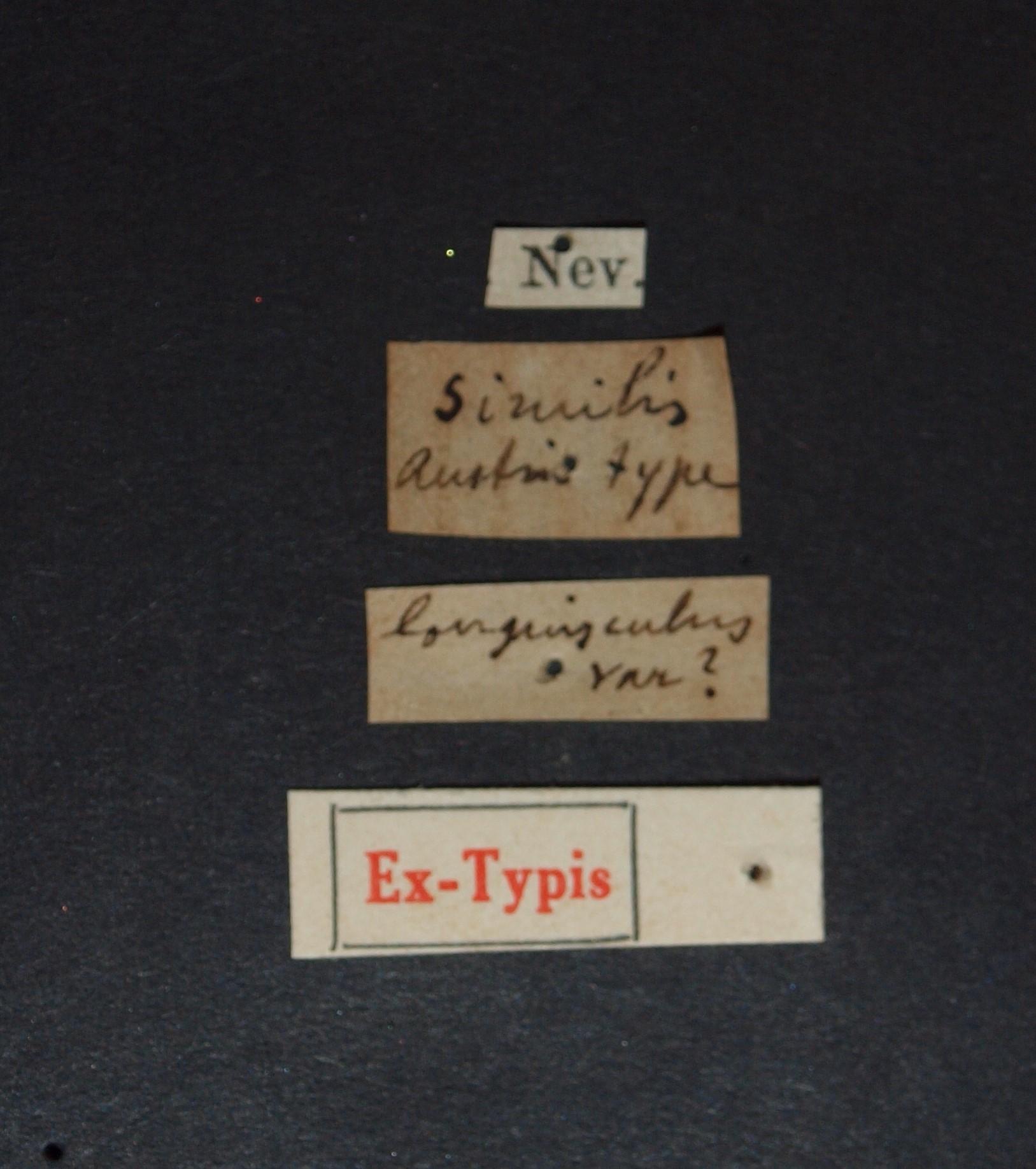 Sunius similis ex t.JPG