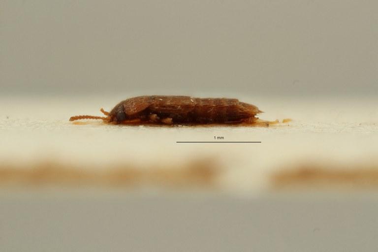 Phloeocharis australis t L ZS PMax Scaled.jpeg