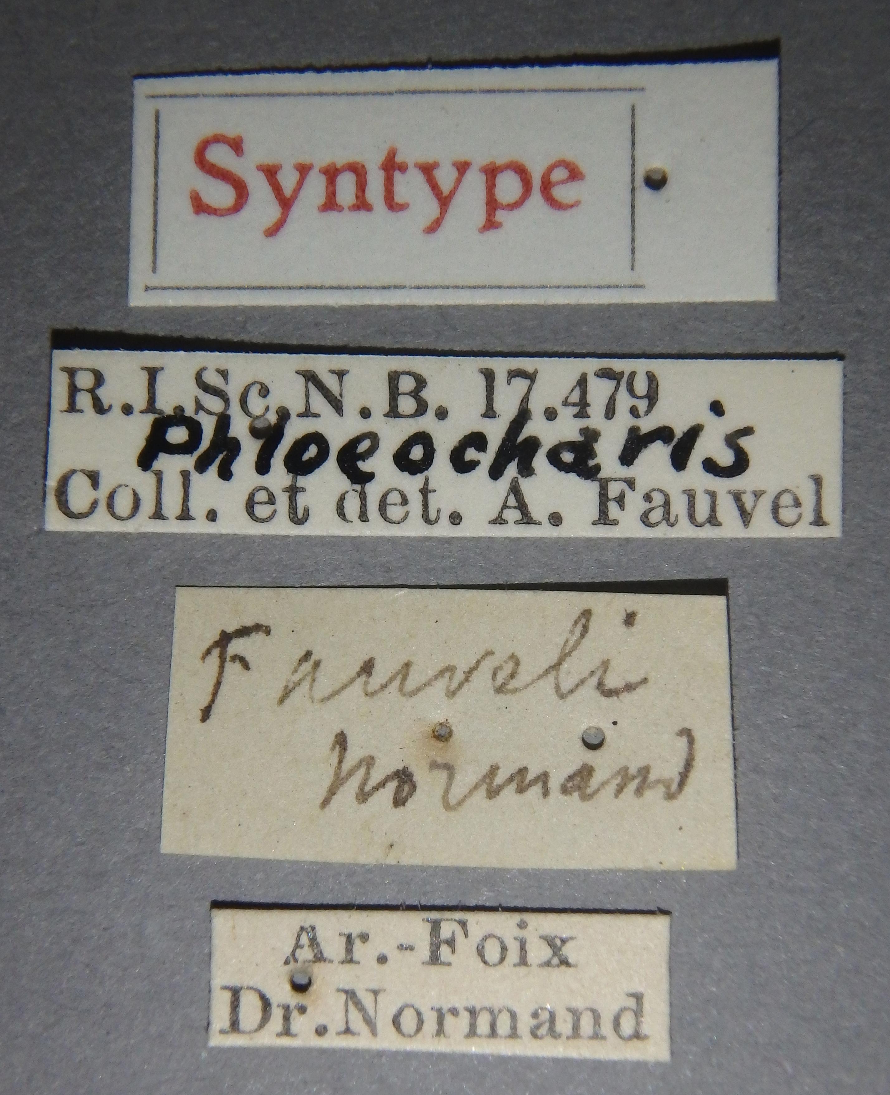 Phloeocharis fauveli st Lb.JPG