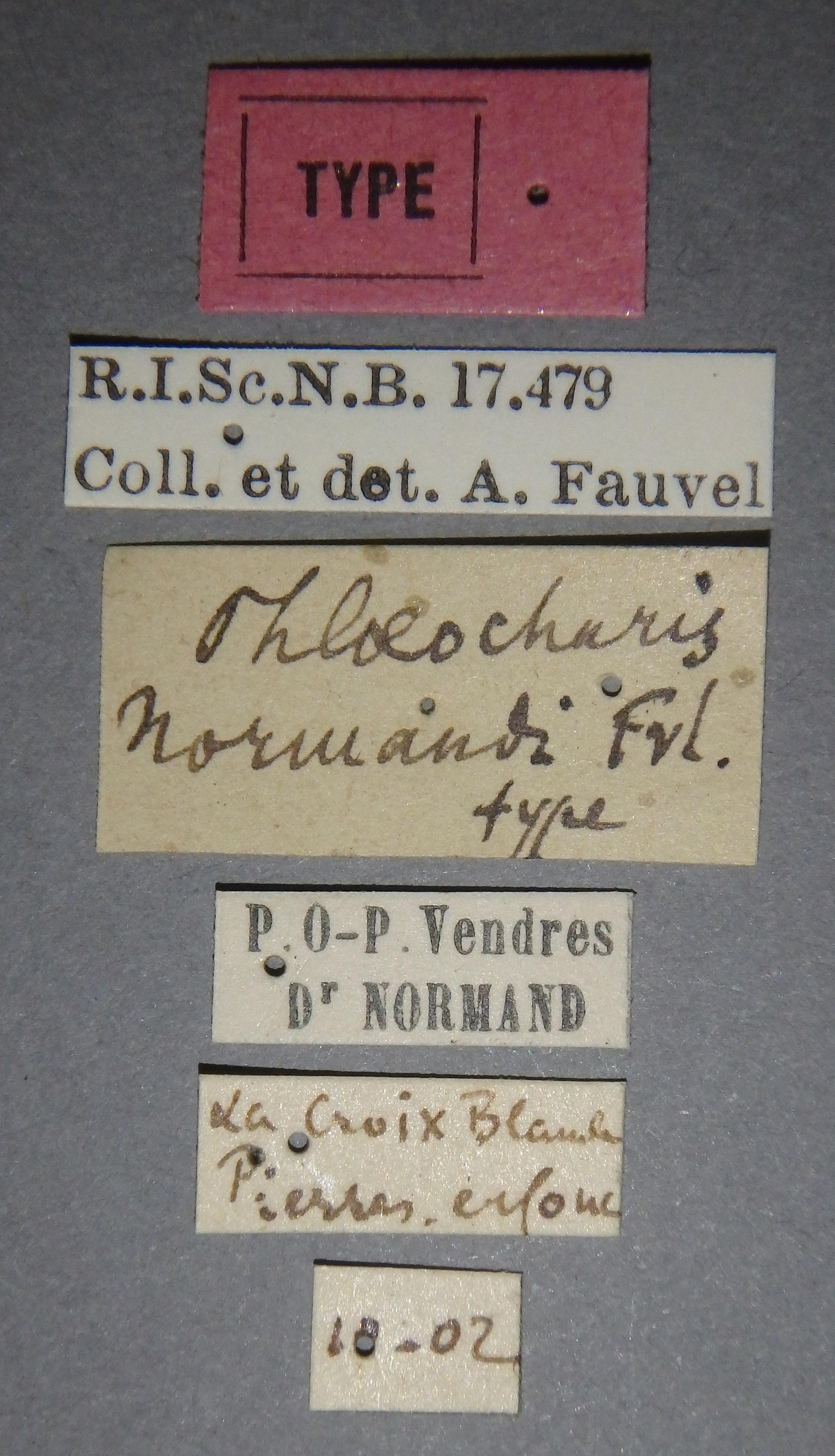 Phloeocharis normandi t Lb.JPG