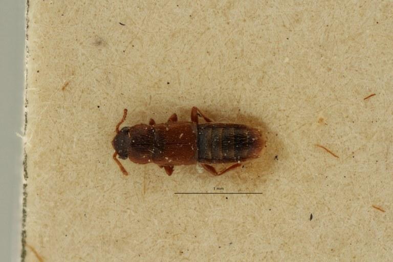 Phloeoecharis normandi t D ZS PMax Scaled.jpeg