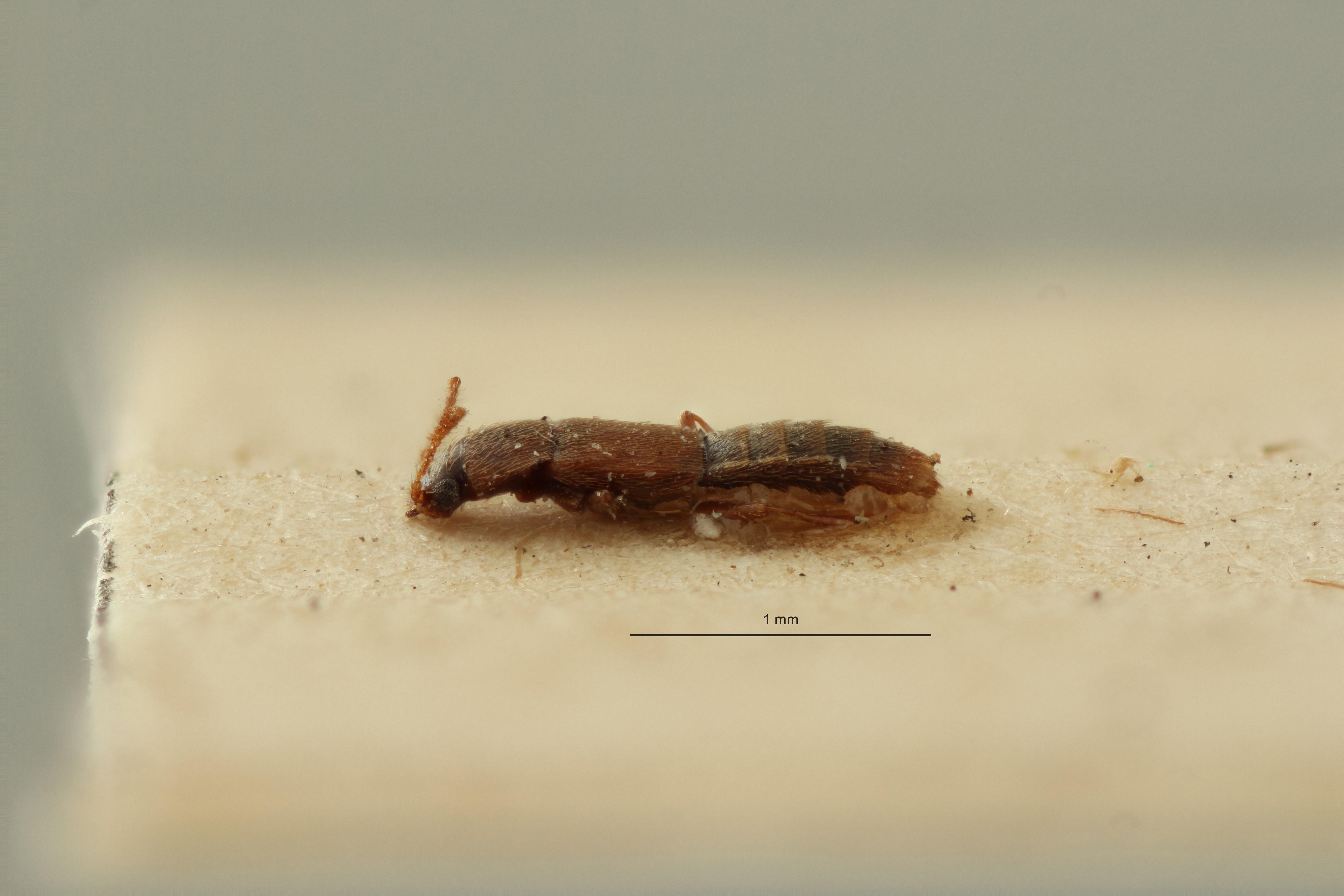 Phloeoecharis normandi t L ZS PMax Scaled.jpeg